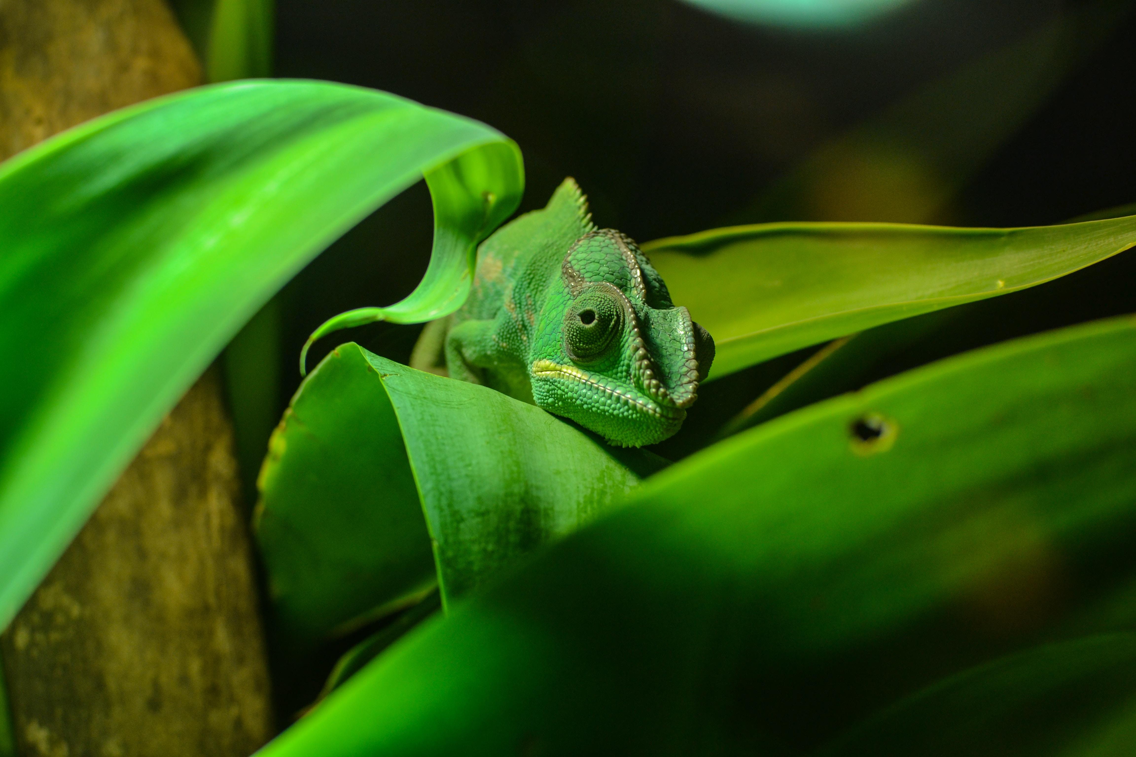 green chameleon on green leaf