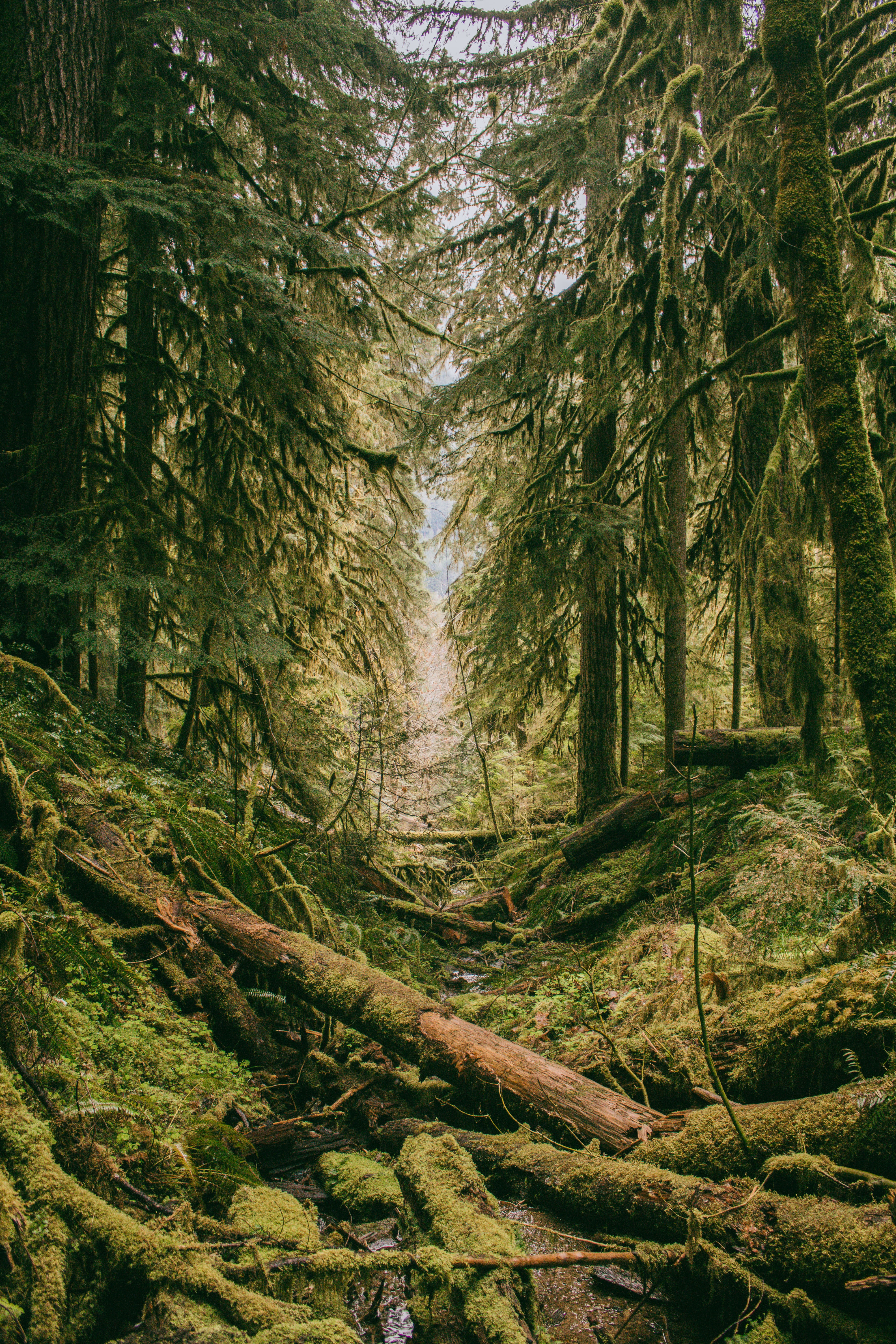 An evergreen forest with moss covering everything from tree trunks to fallen logs on the ground