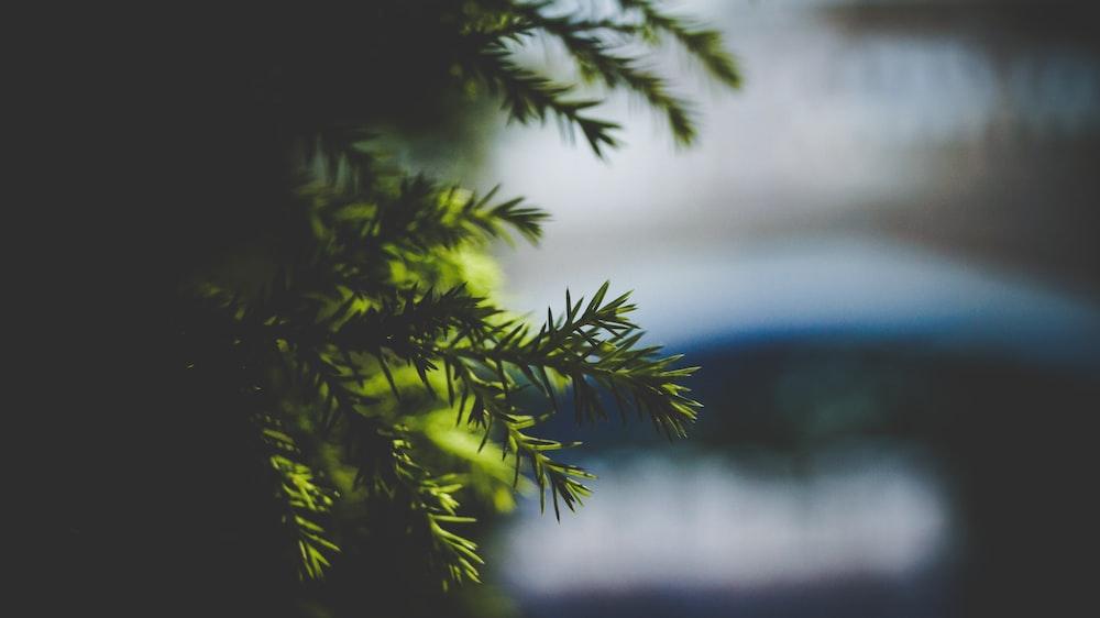 closeup photography of pine tree