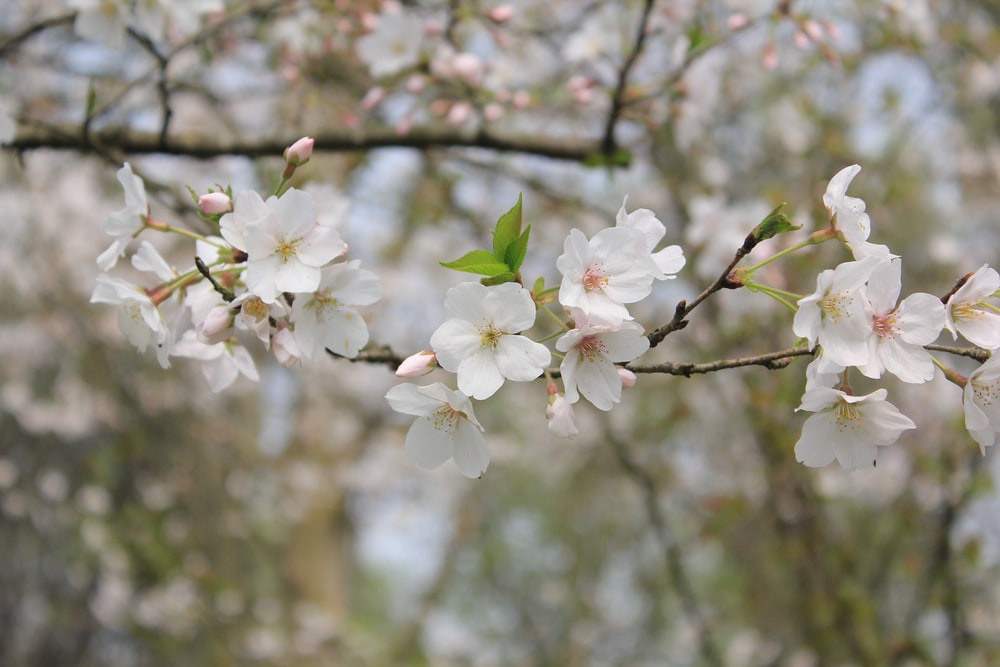 selective focus photo of white cherry blossoms