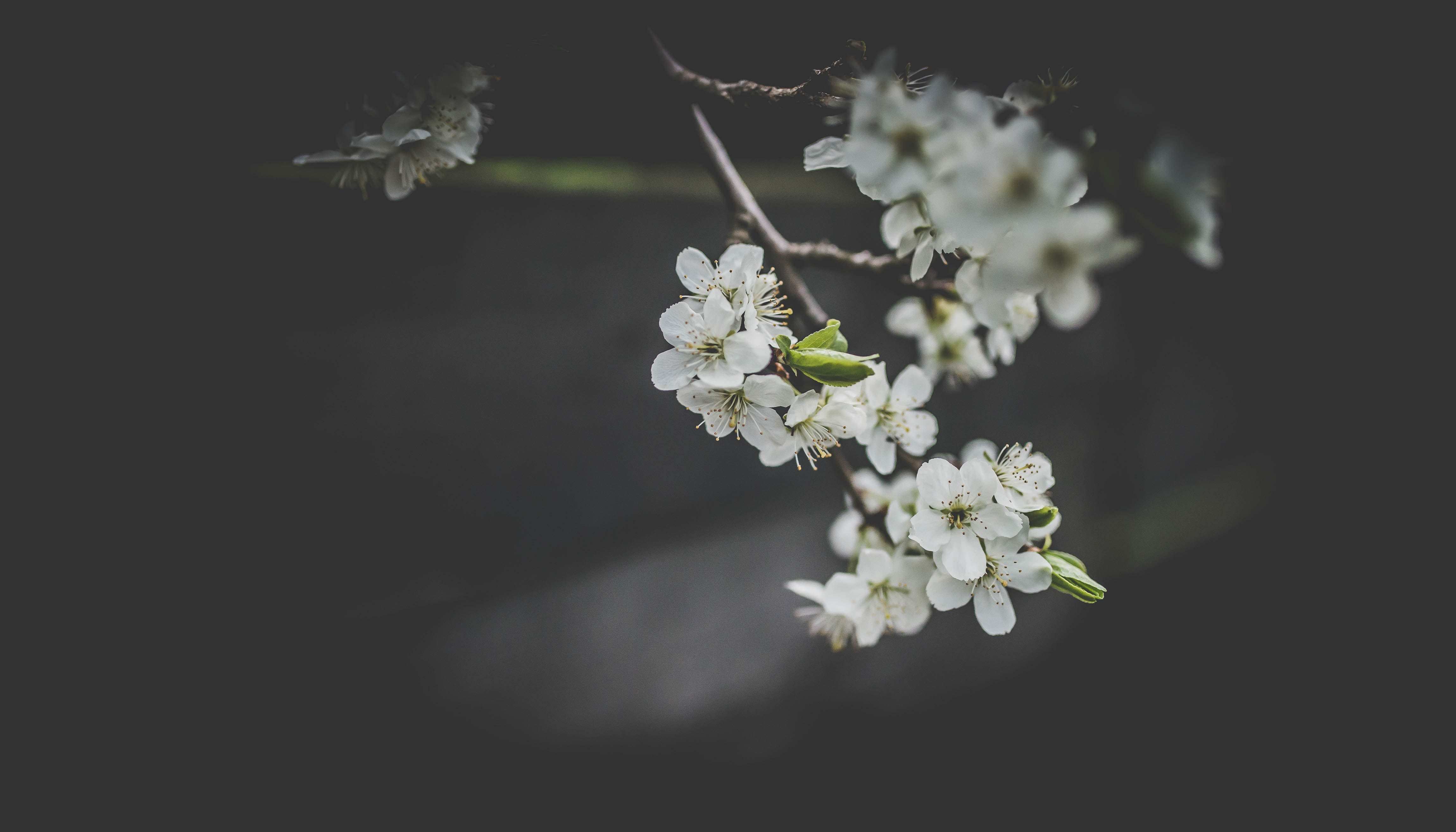 Branch with white blossom flowers pointing towards floor against dark background