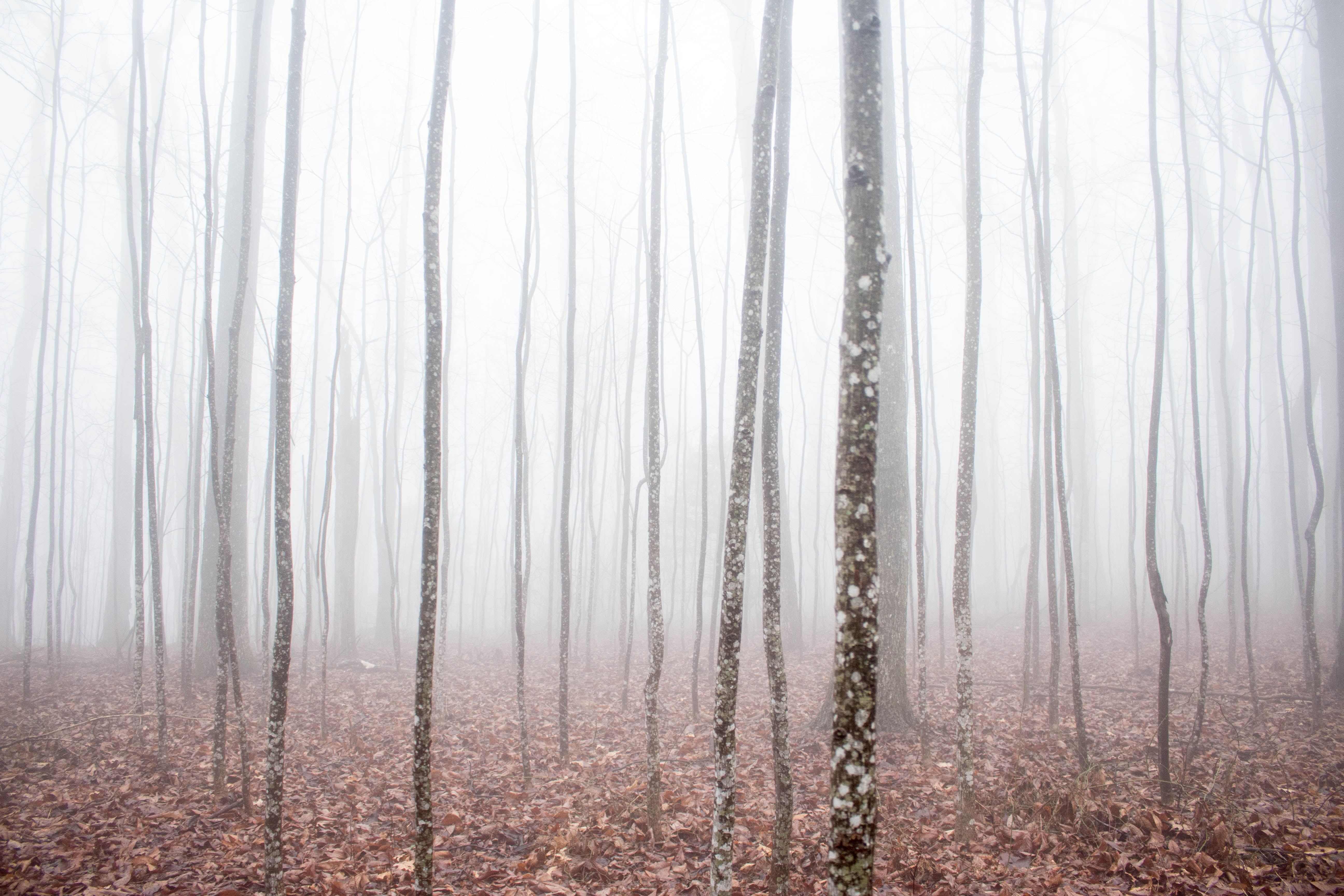A thick fog in a forest with a thick layer of brown leaves on its floor