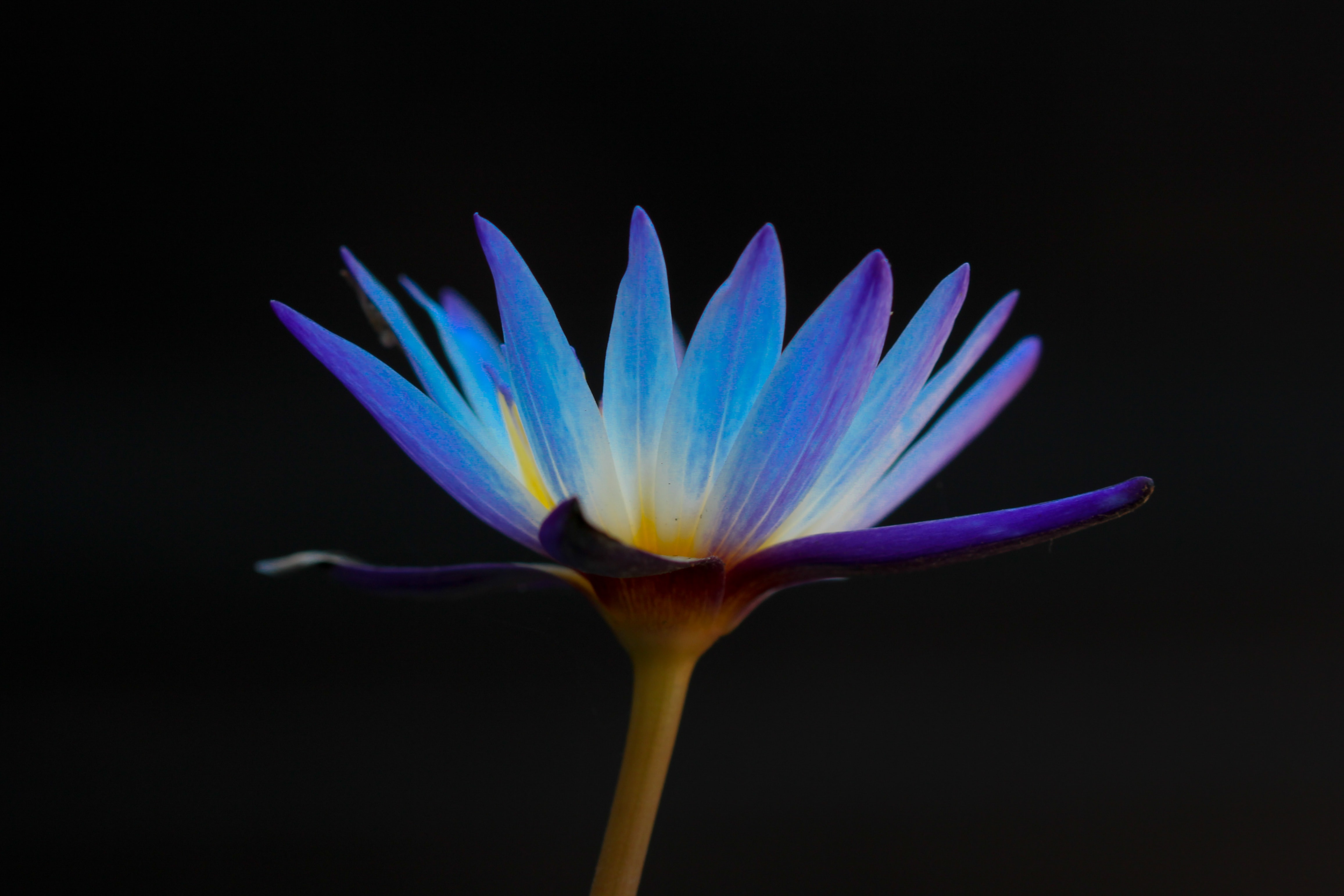 A low-angle shot of a violet daisy against a black background