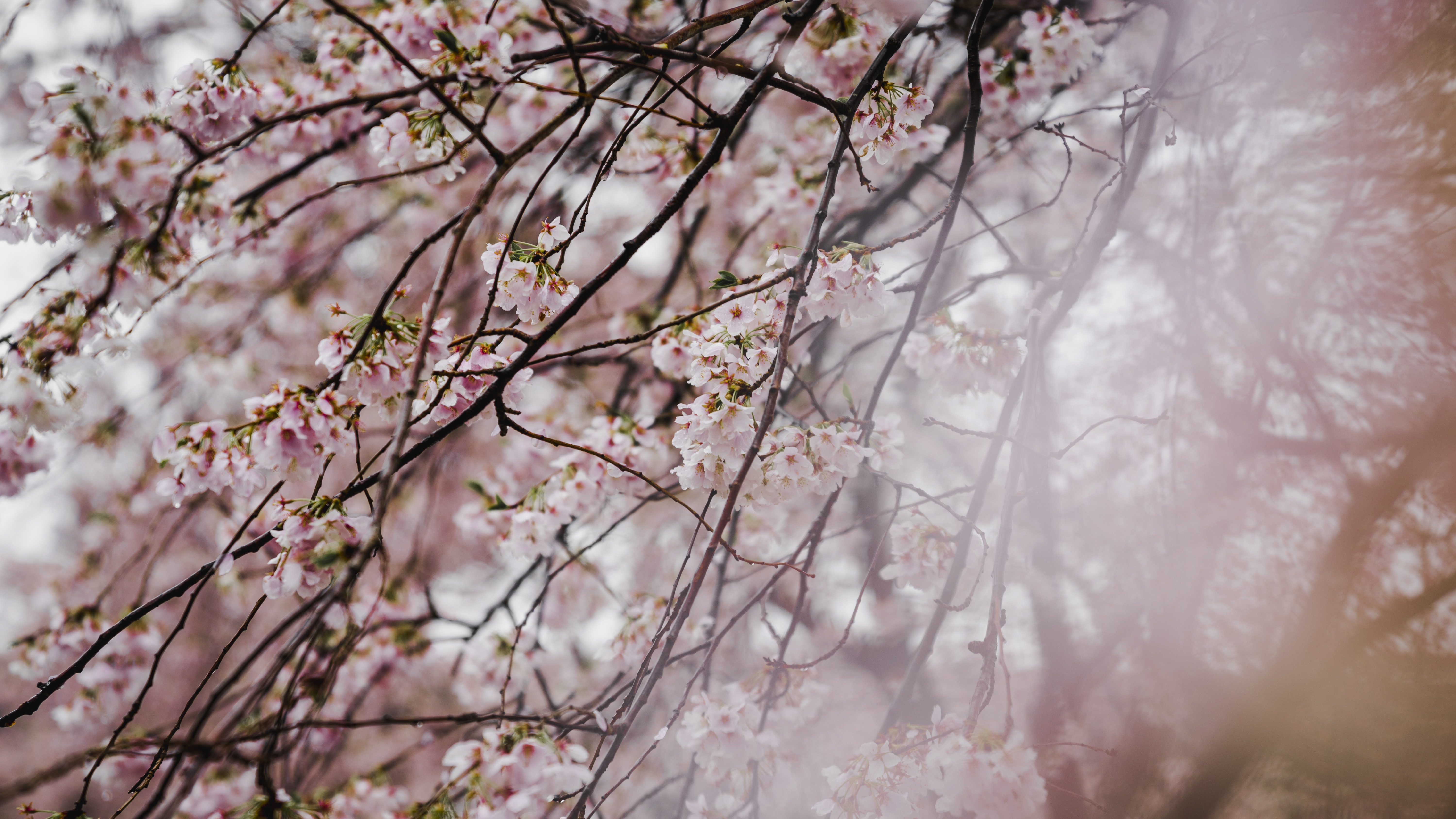 Pink blossom branches in spring, Tokyo with blur