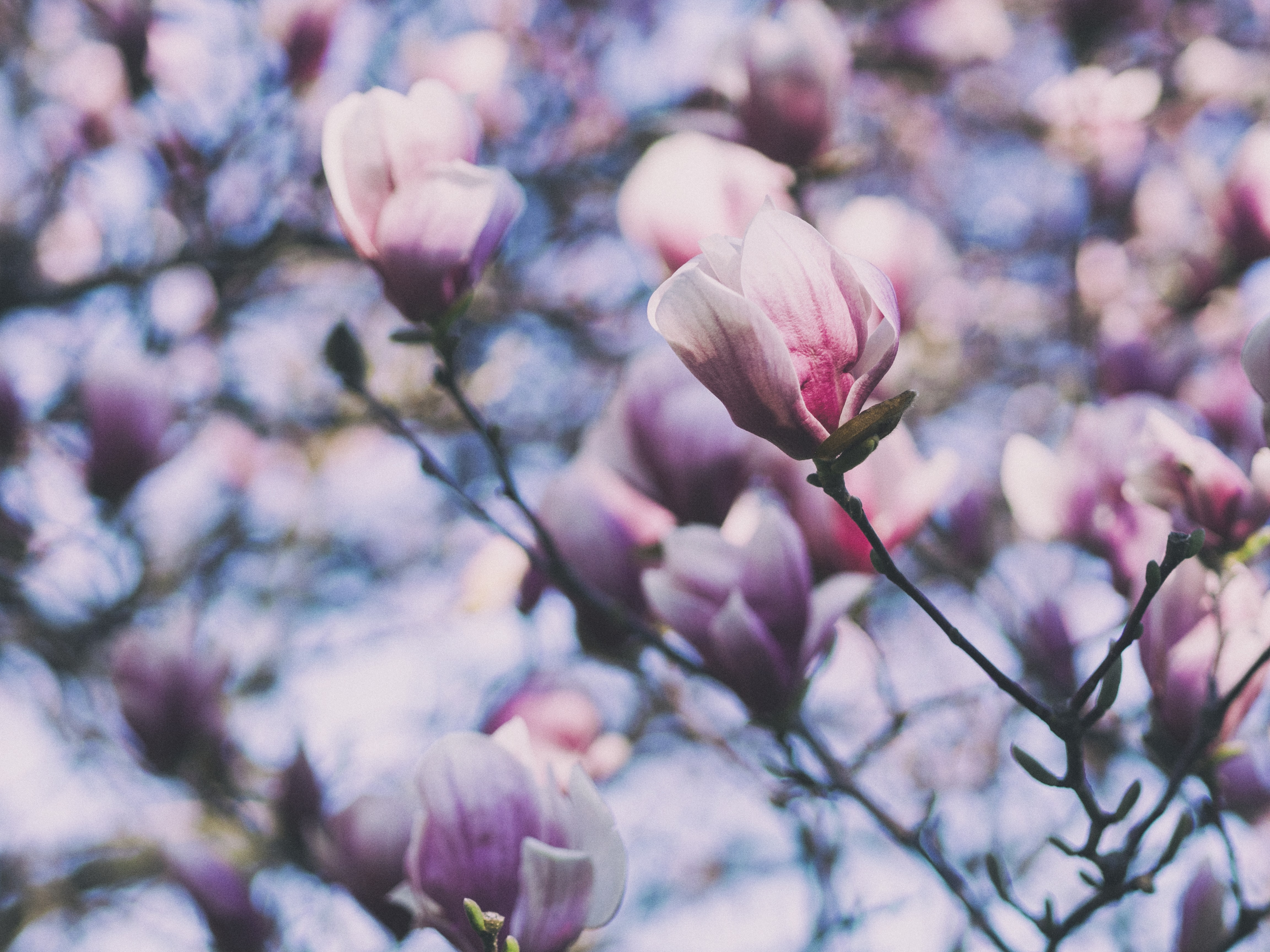 Close up of magnolia tree and magnolia flowers in Spring