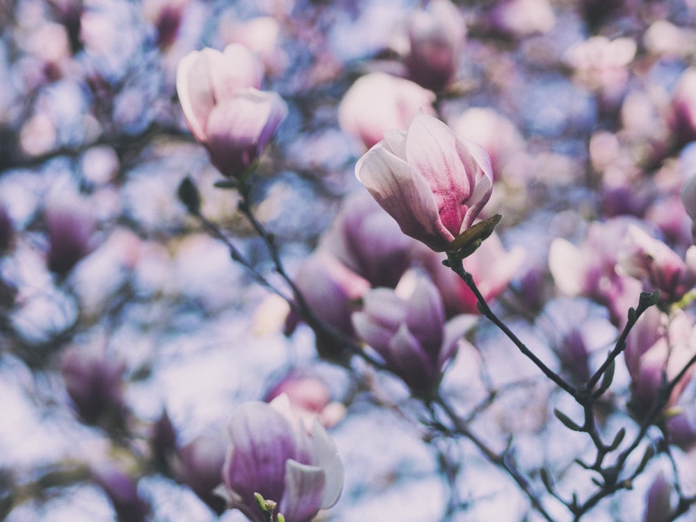500 Magnolia Flower Pictures Hd Download Free Images On Unsplash