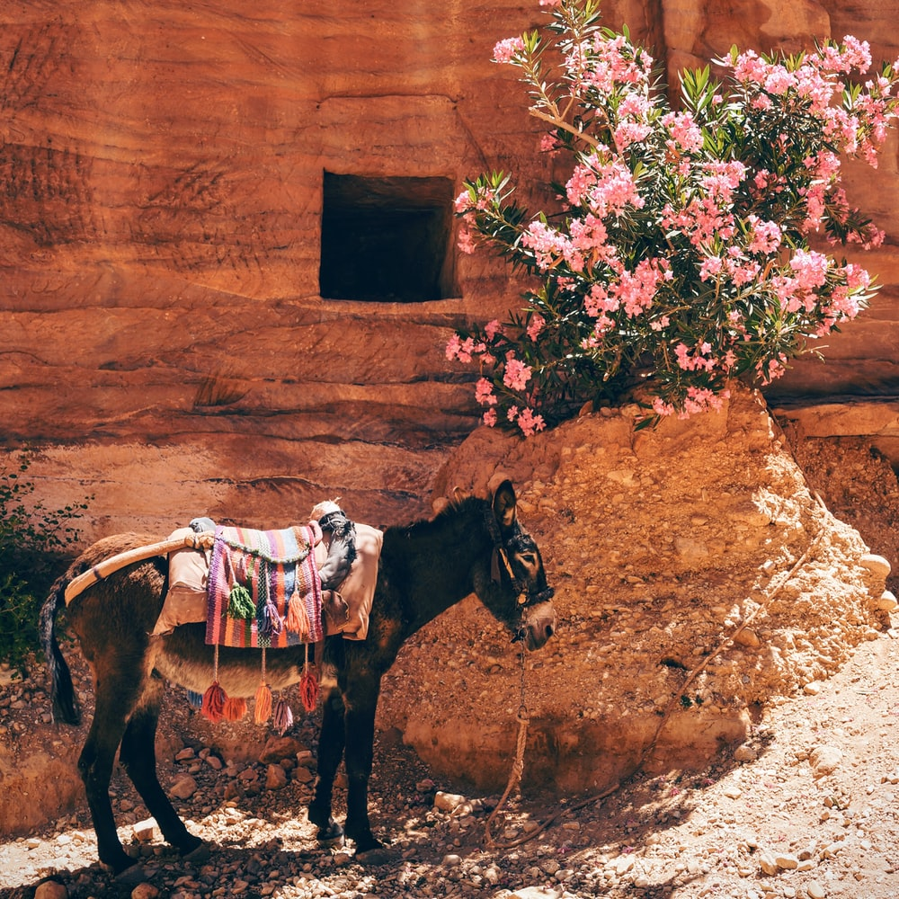 black donkey near the pink flowers
