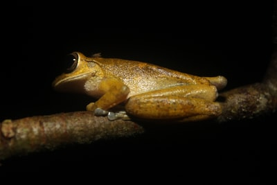 brown frog perched on tree branch costa rica zoom background
