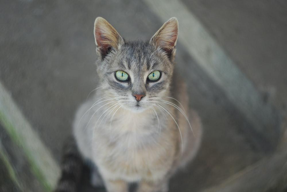 silver tabby cat looking upward