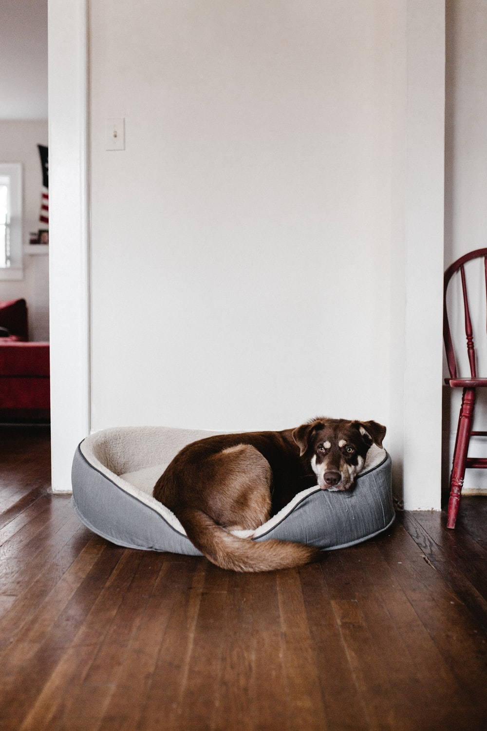 brown dog laying on white bed
