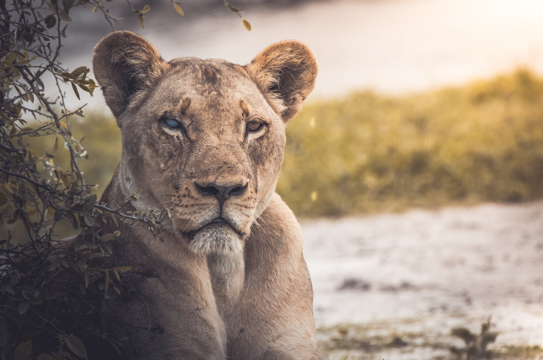 One of the most amazing and intense sightings of the year for me. I was lucky enough to spot this mother lioness and her cub on a trip to Botswana.