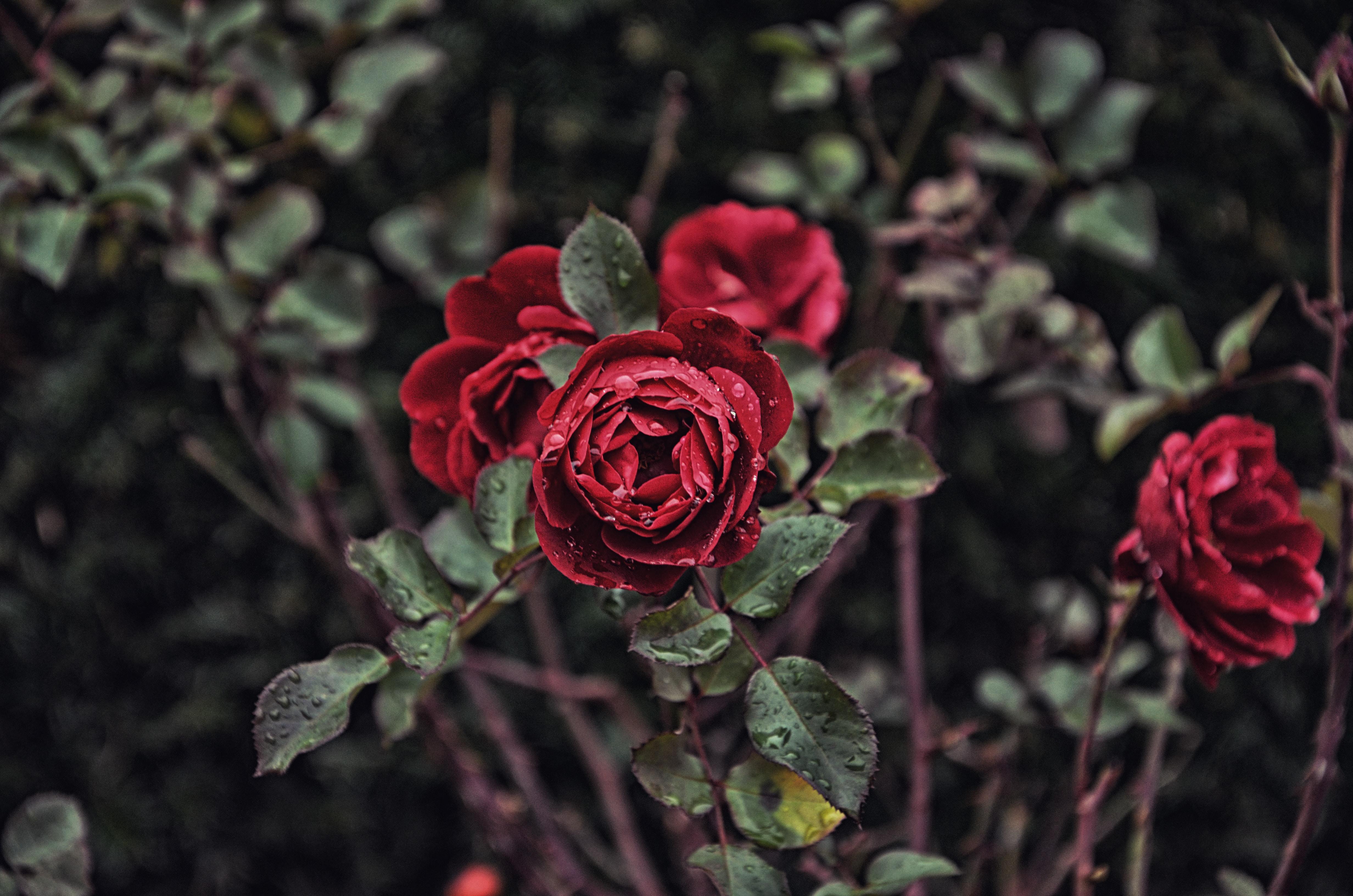 tilt lens photography red flowers