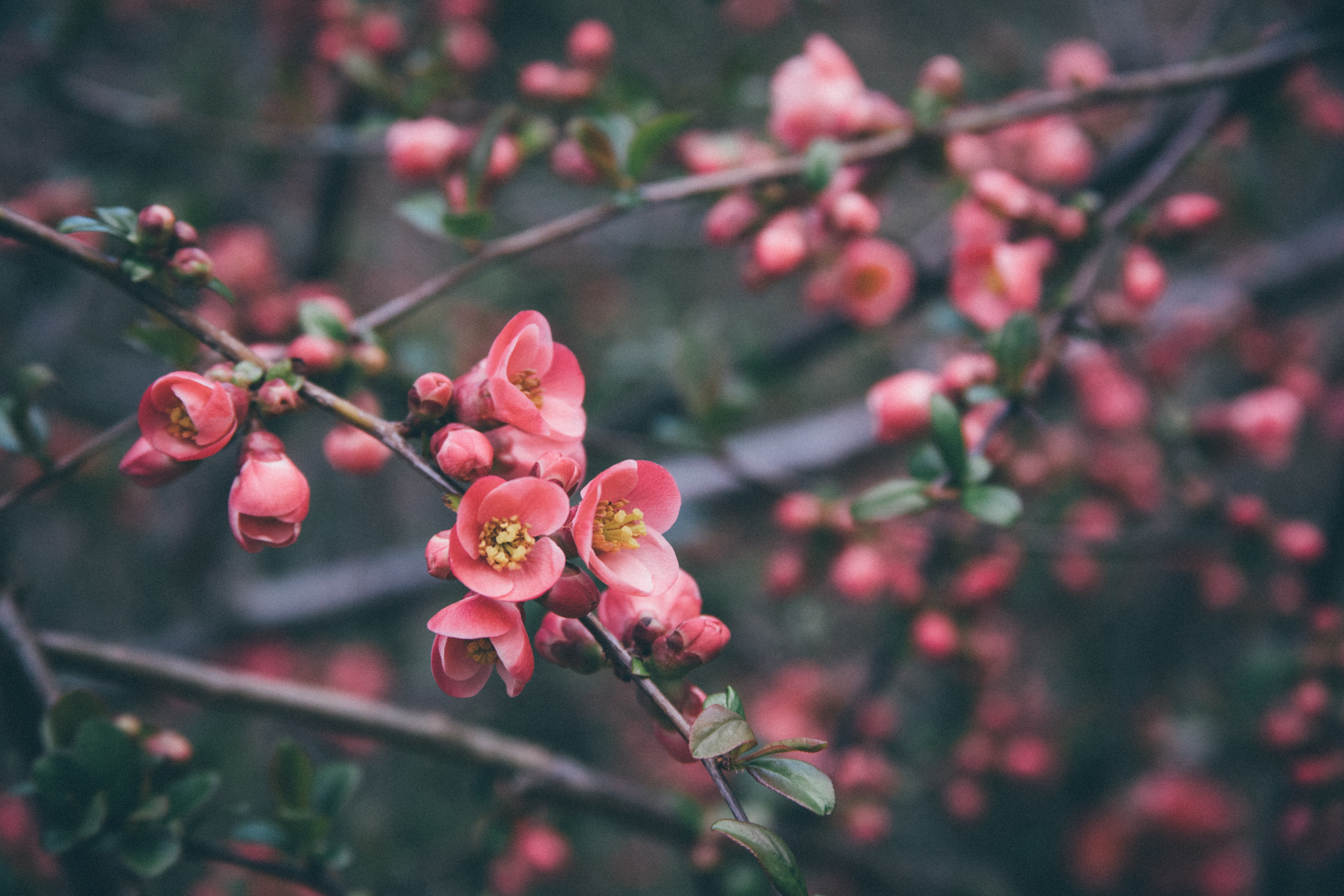 selective focus photography of pink cherry blossoms