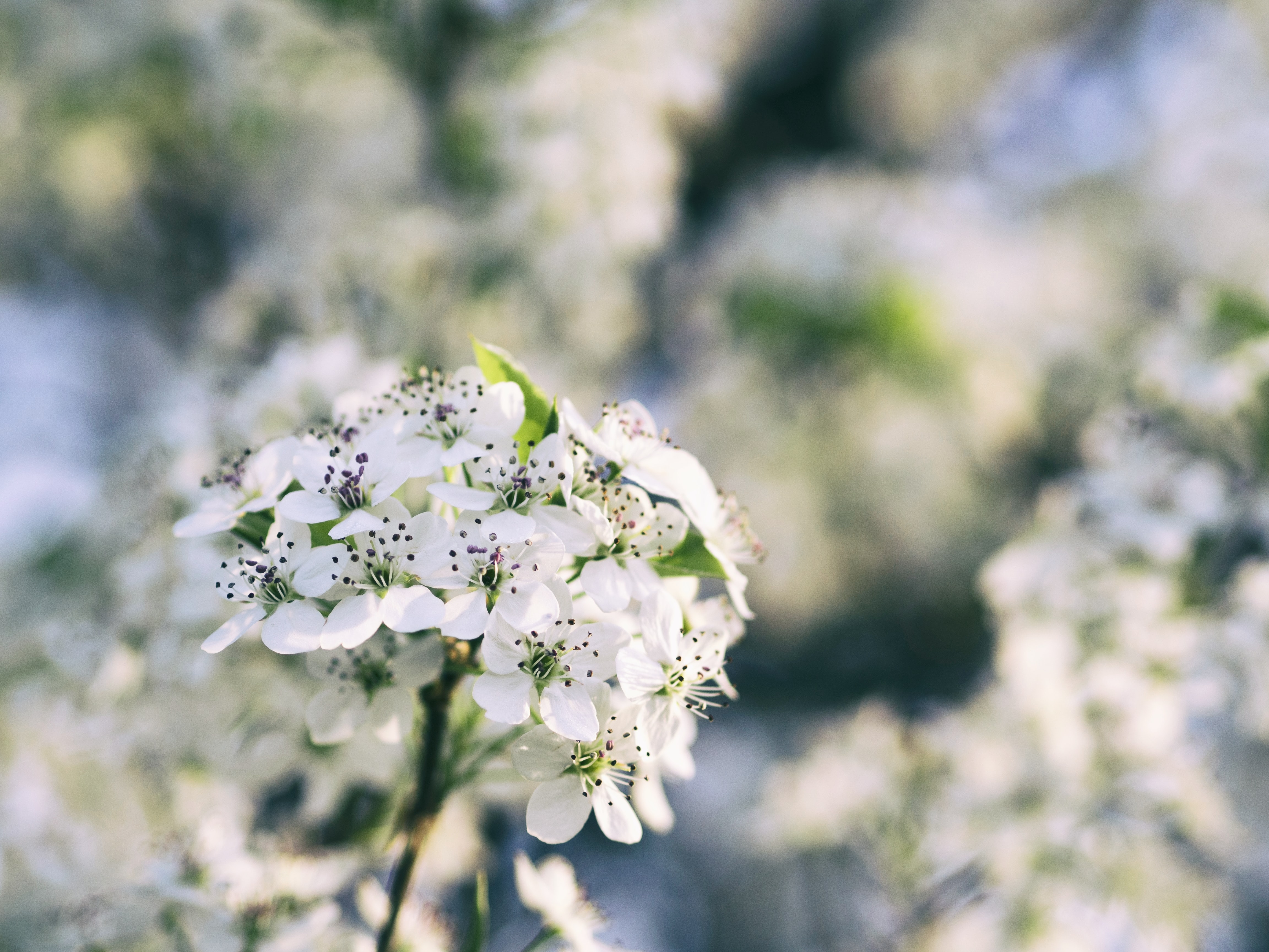 Close up of cherry blossom branch in Spring