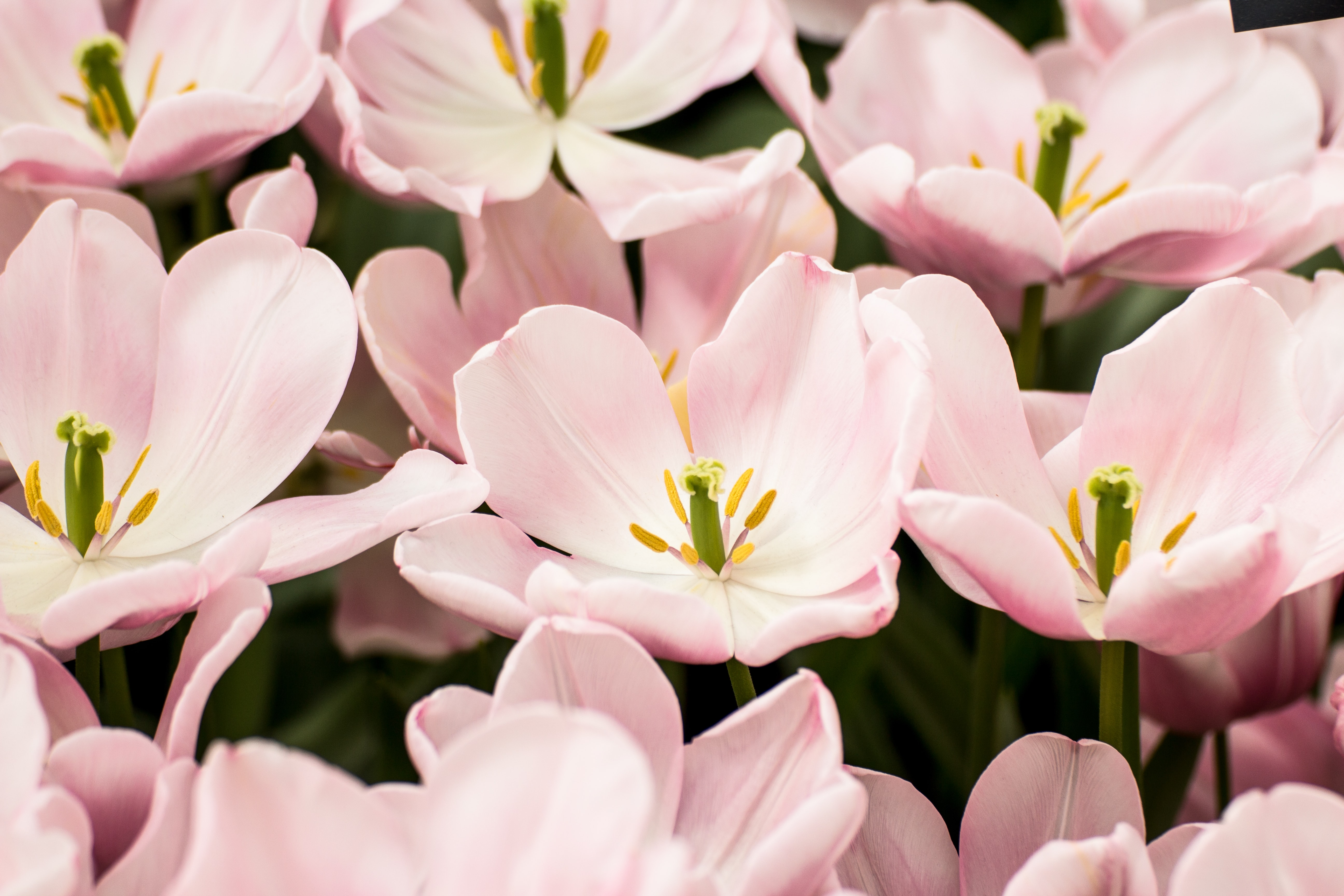 A bed of wide open pink tulips