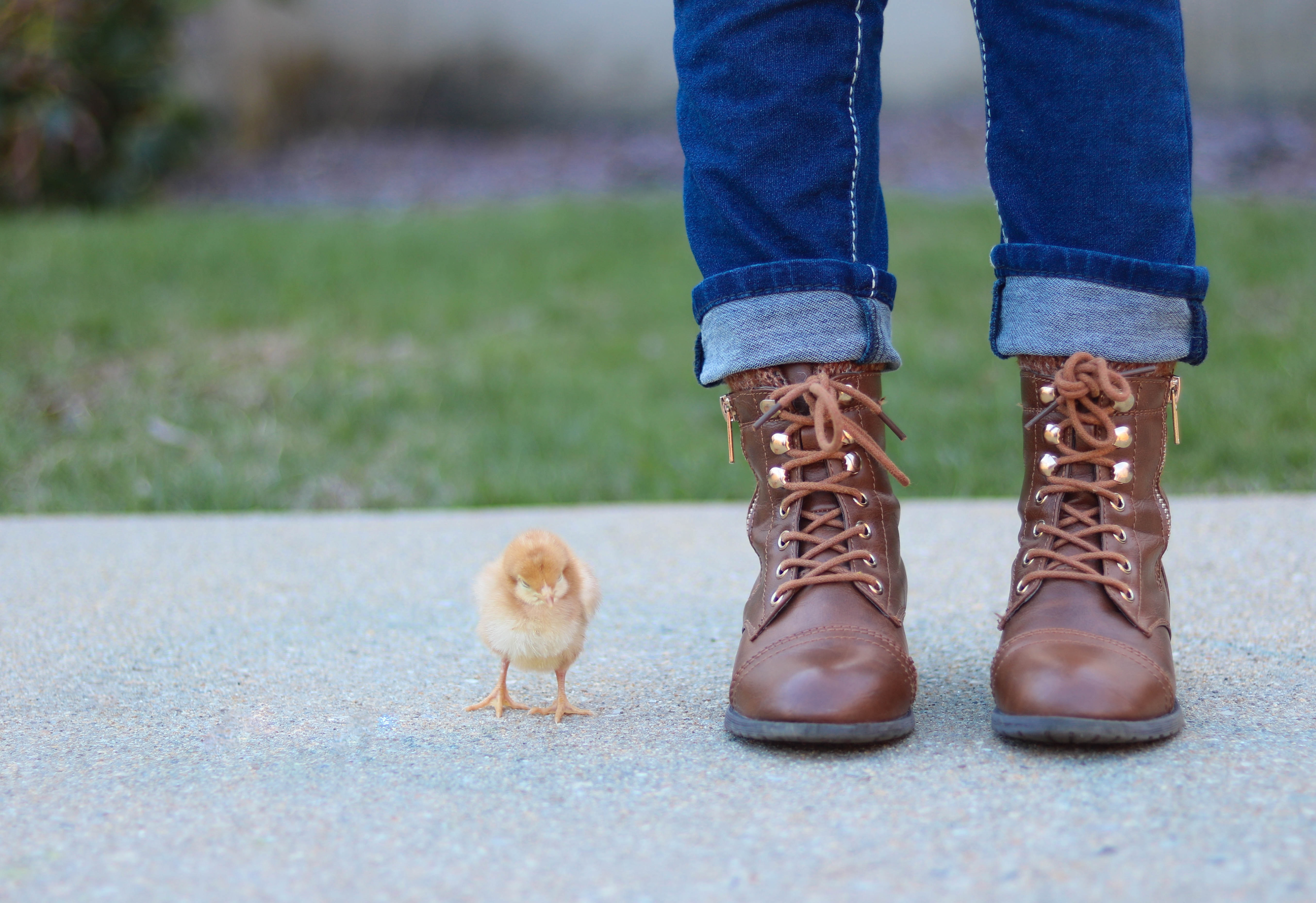 Cute baby chick stands next to a person in brown boots