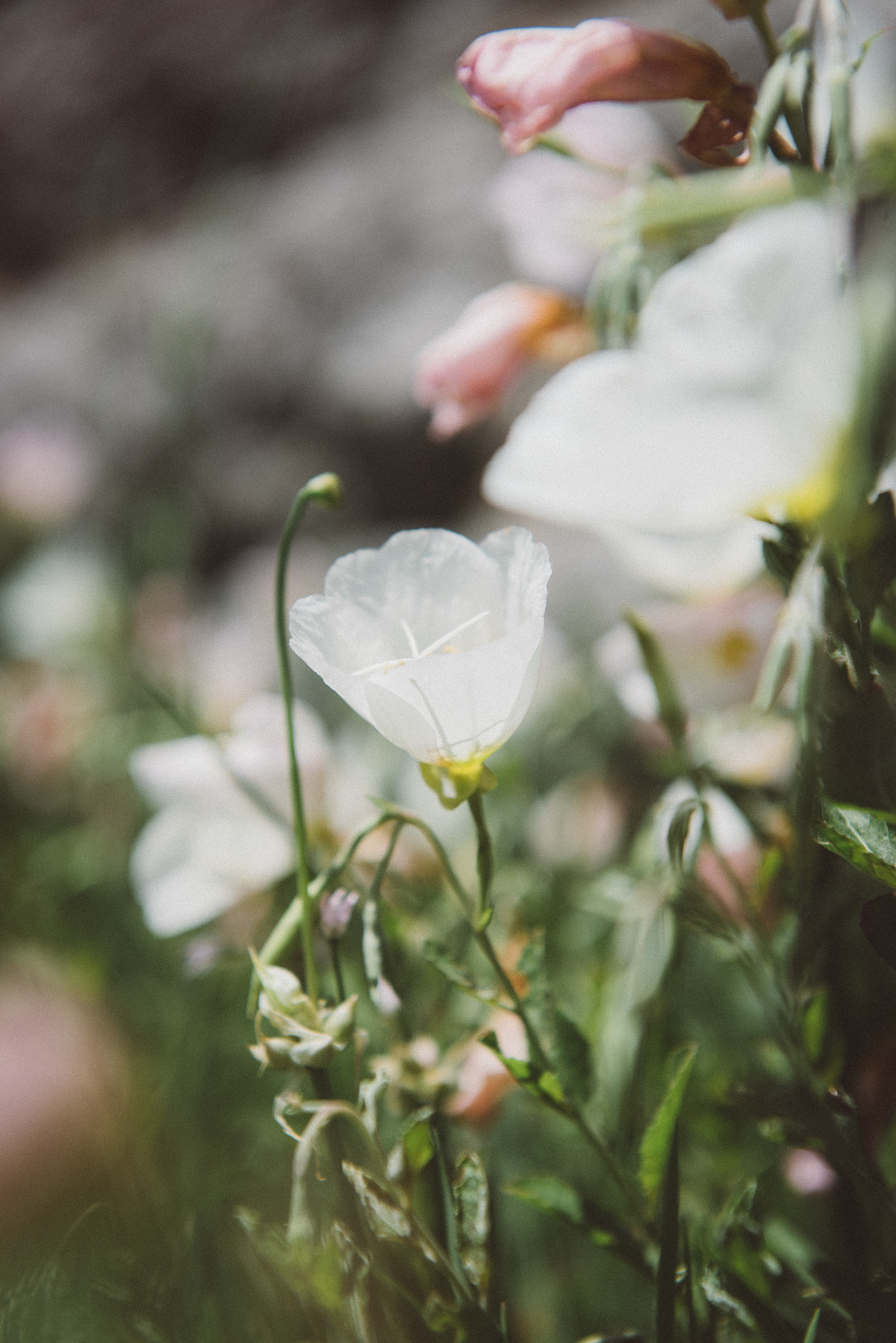 white campanula flower in bloom at daytime