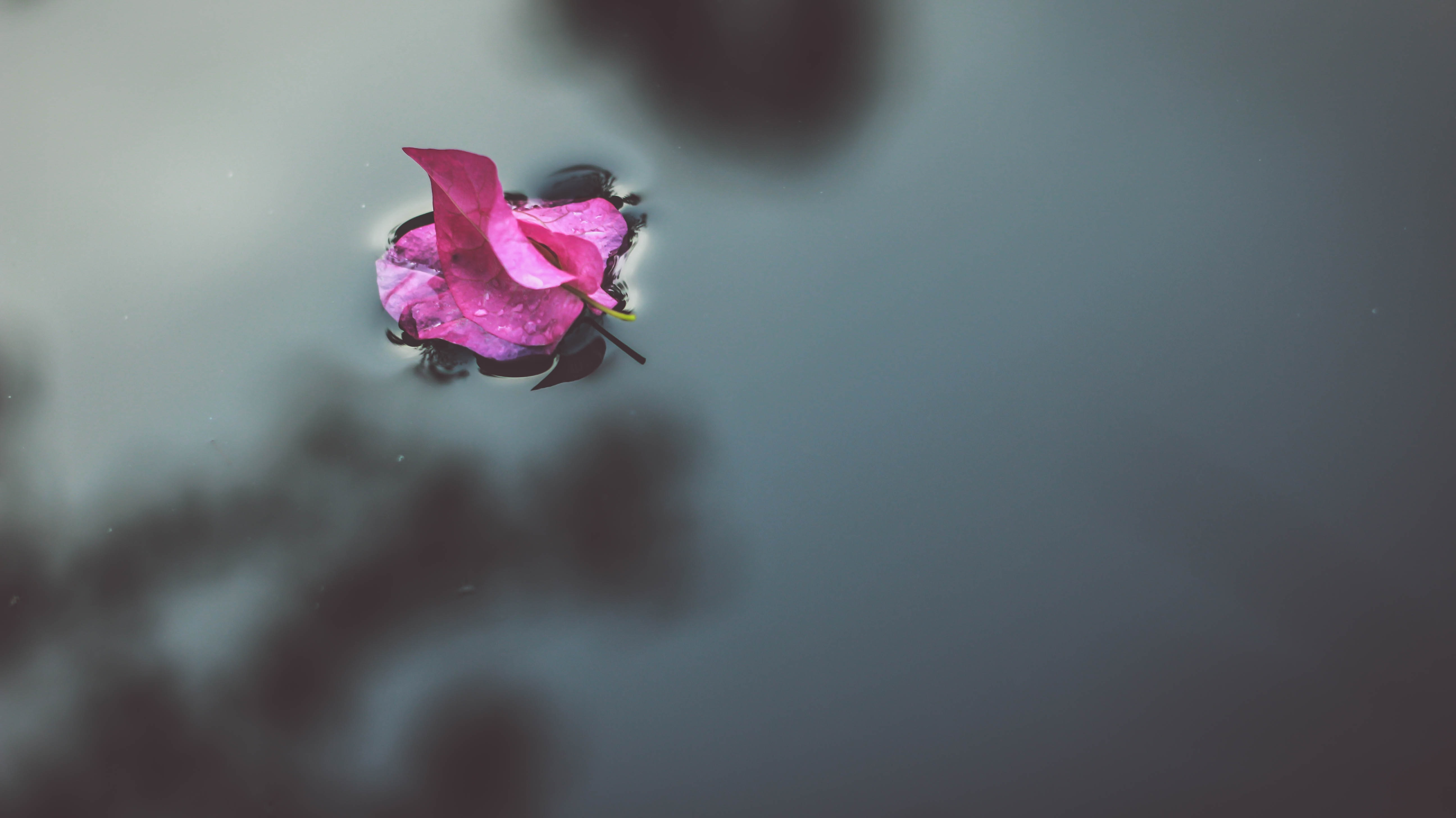 selective focus photography of pink bougainvillea flower on water