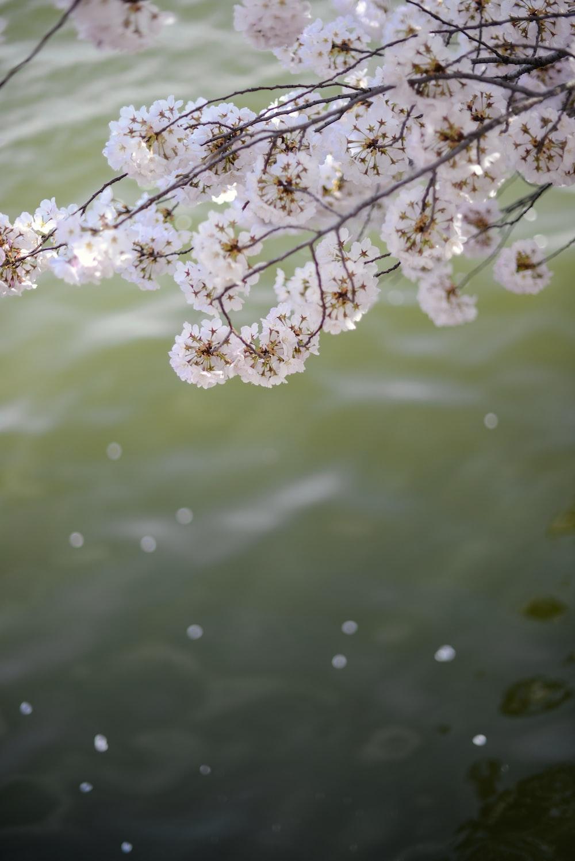 white petaled flower tree in closeup photo