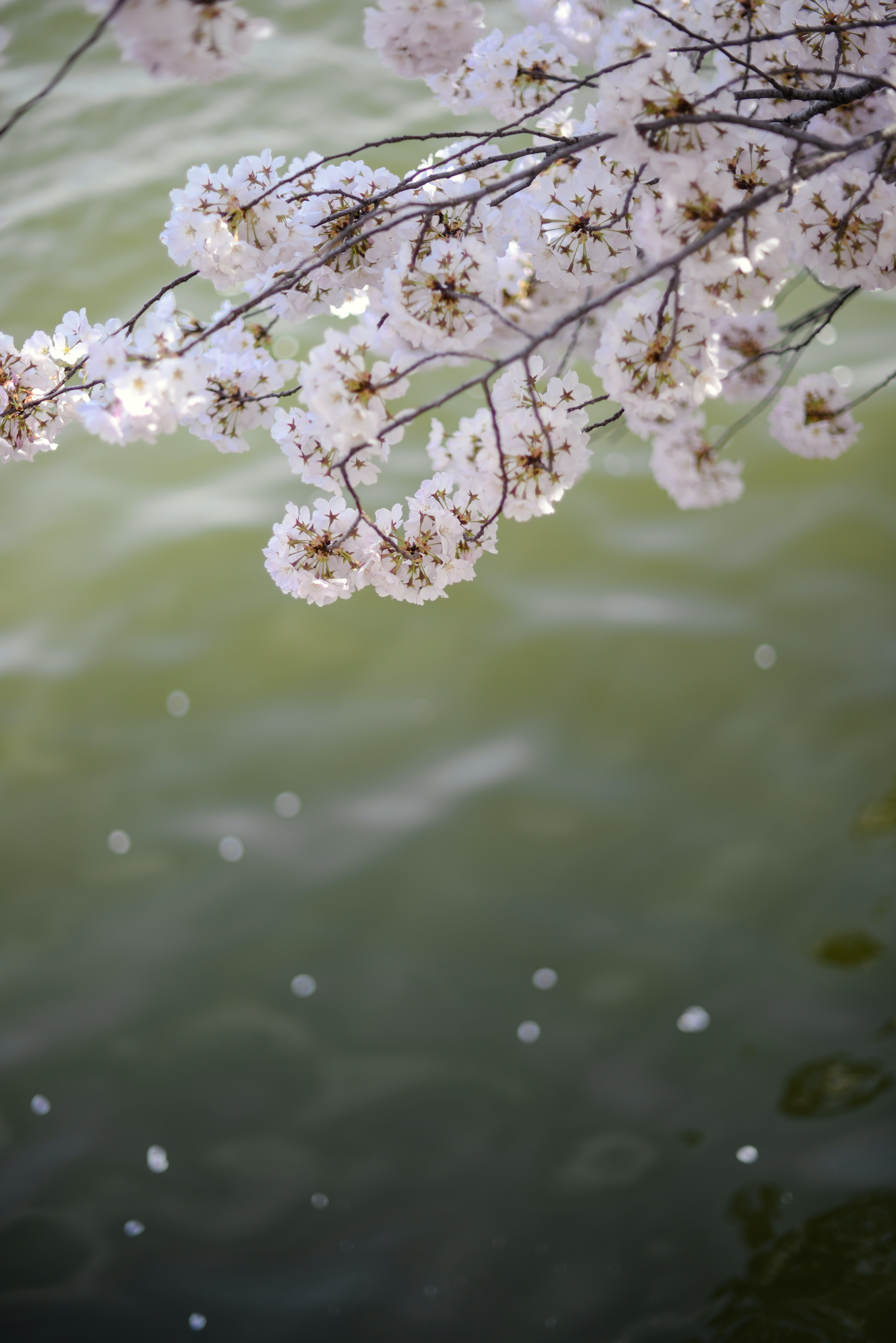 white petaled flower tree in closeup photo