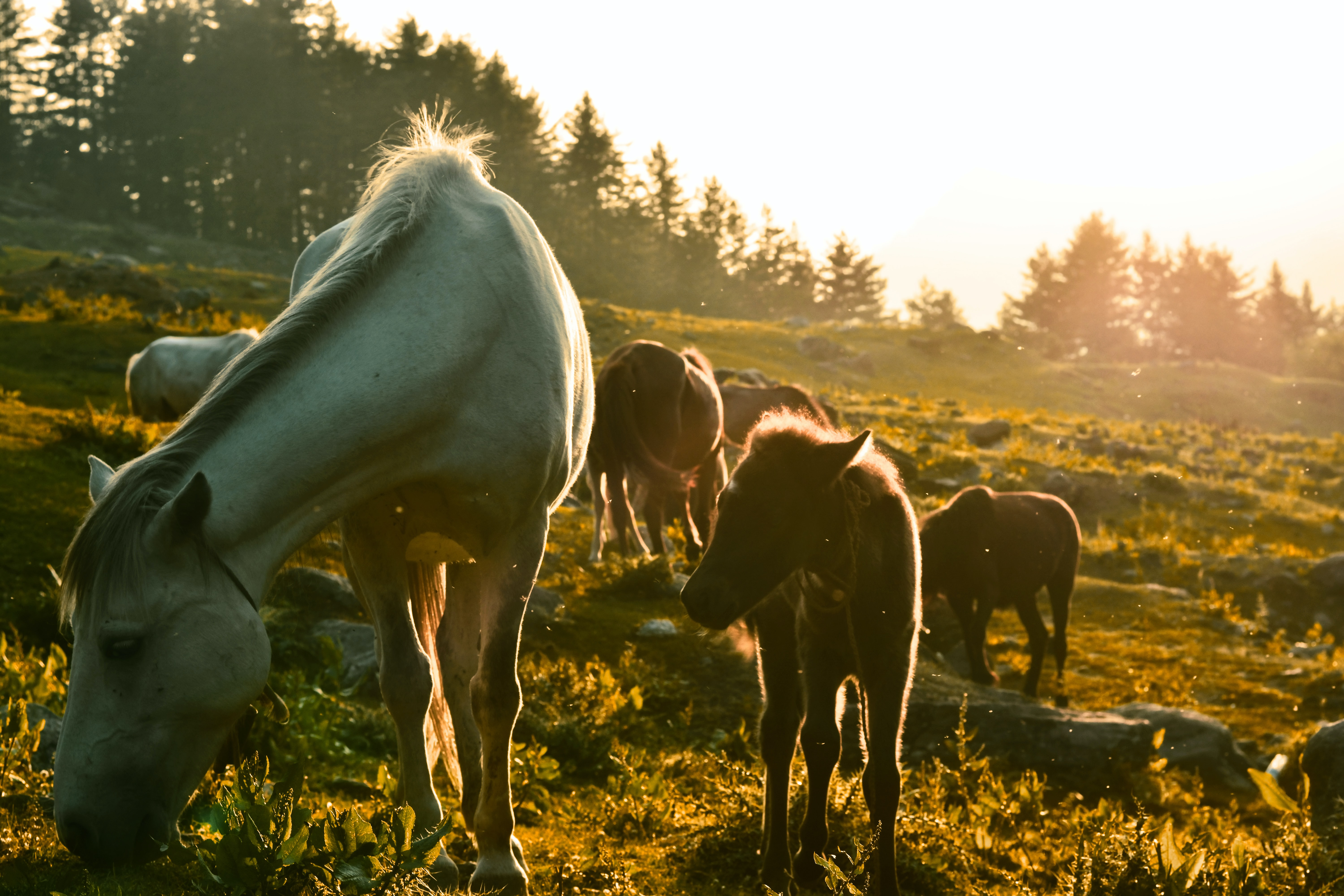 Adult horses and ponies grazing on a rocky slope in direct sunlight