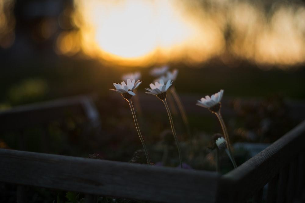 close-up photo of white gerbera flowers