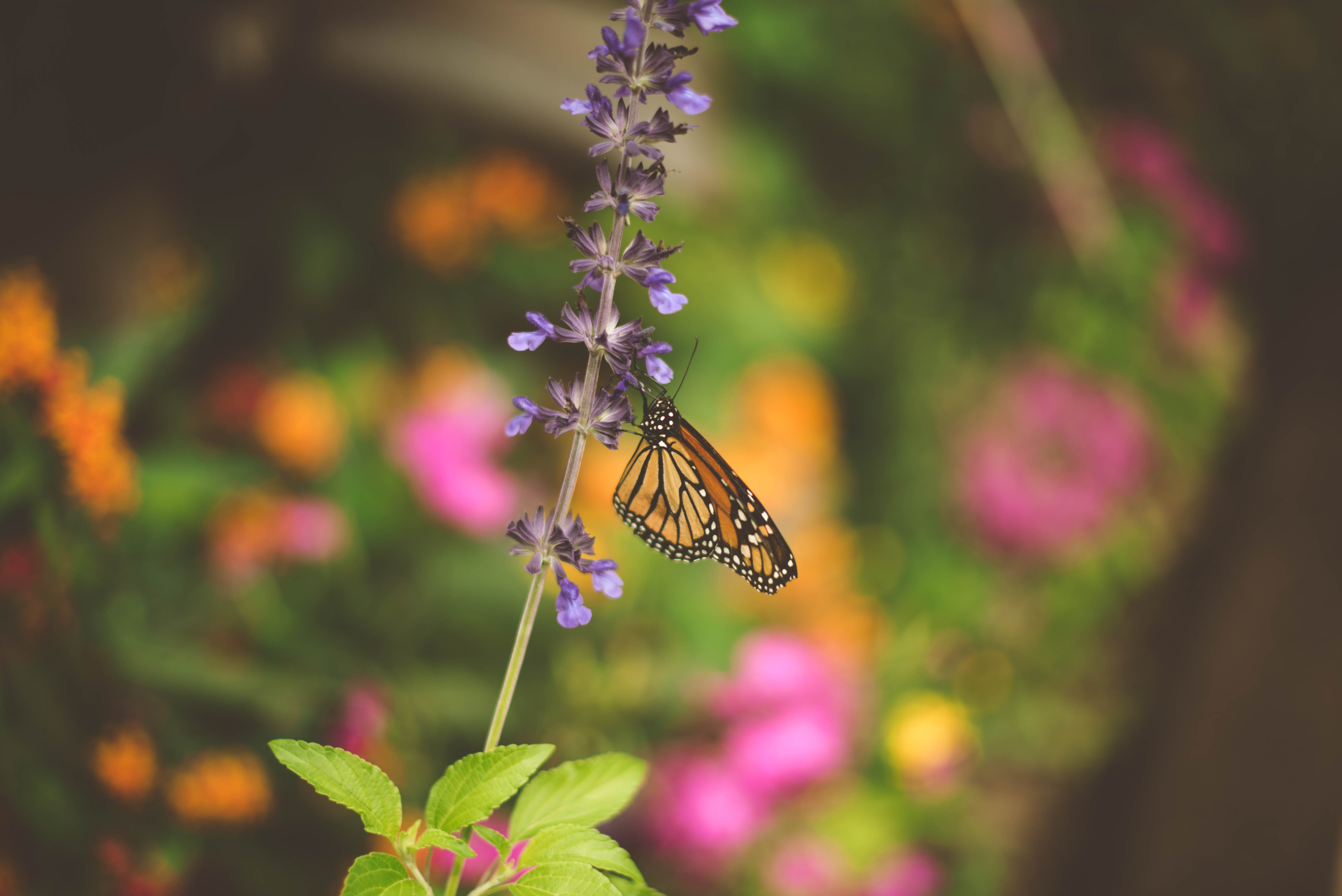 selective focus photo of brown, white, and black butterfly sipping nectar on purple flower