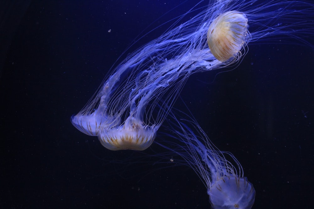 jellyfishes swimming under water