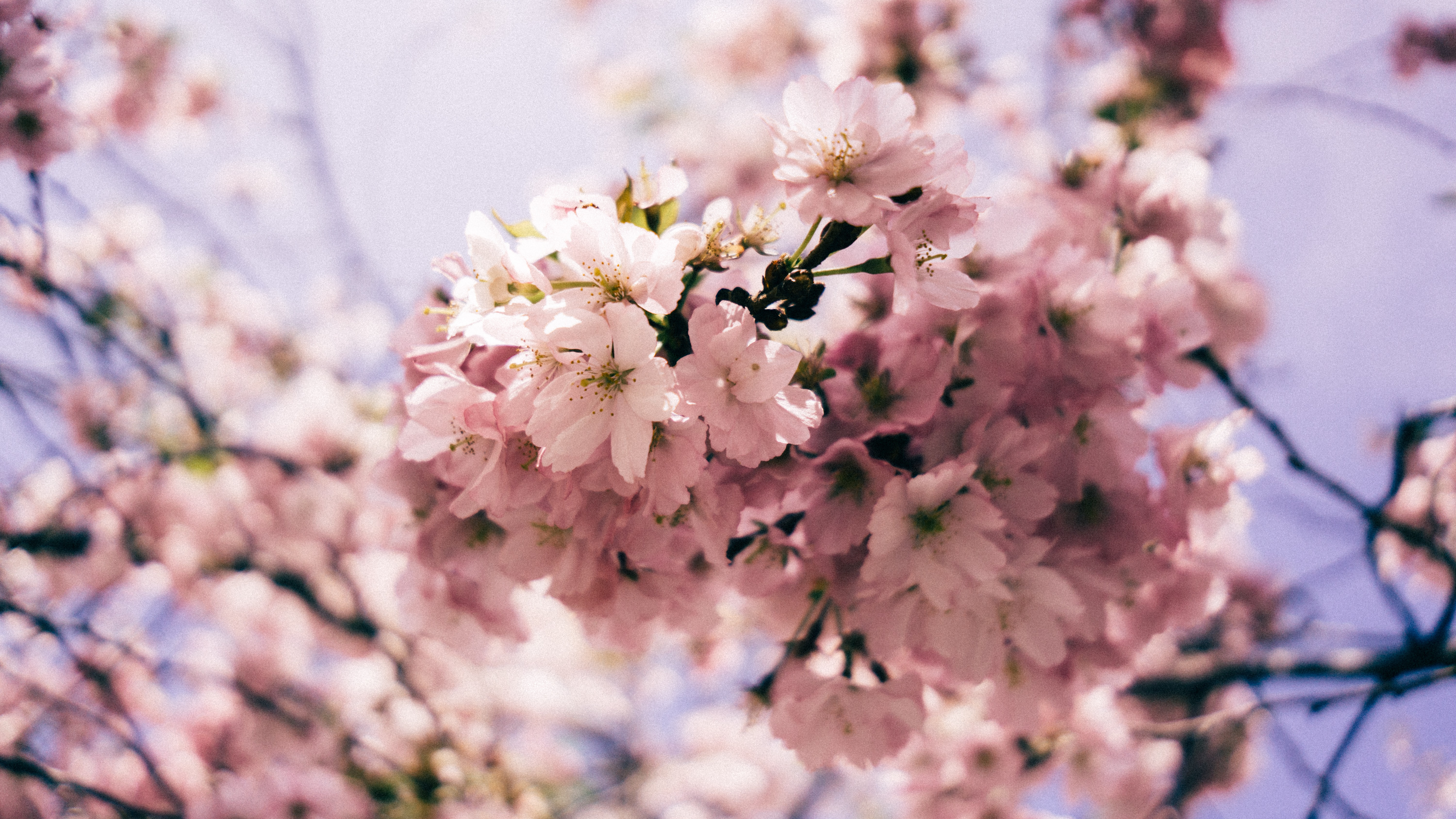 Close up of floral pink blossom on branch in Spring, Toronto