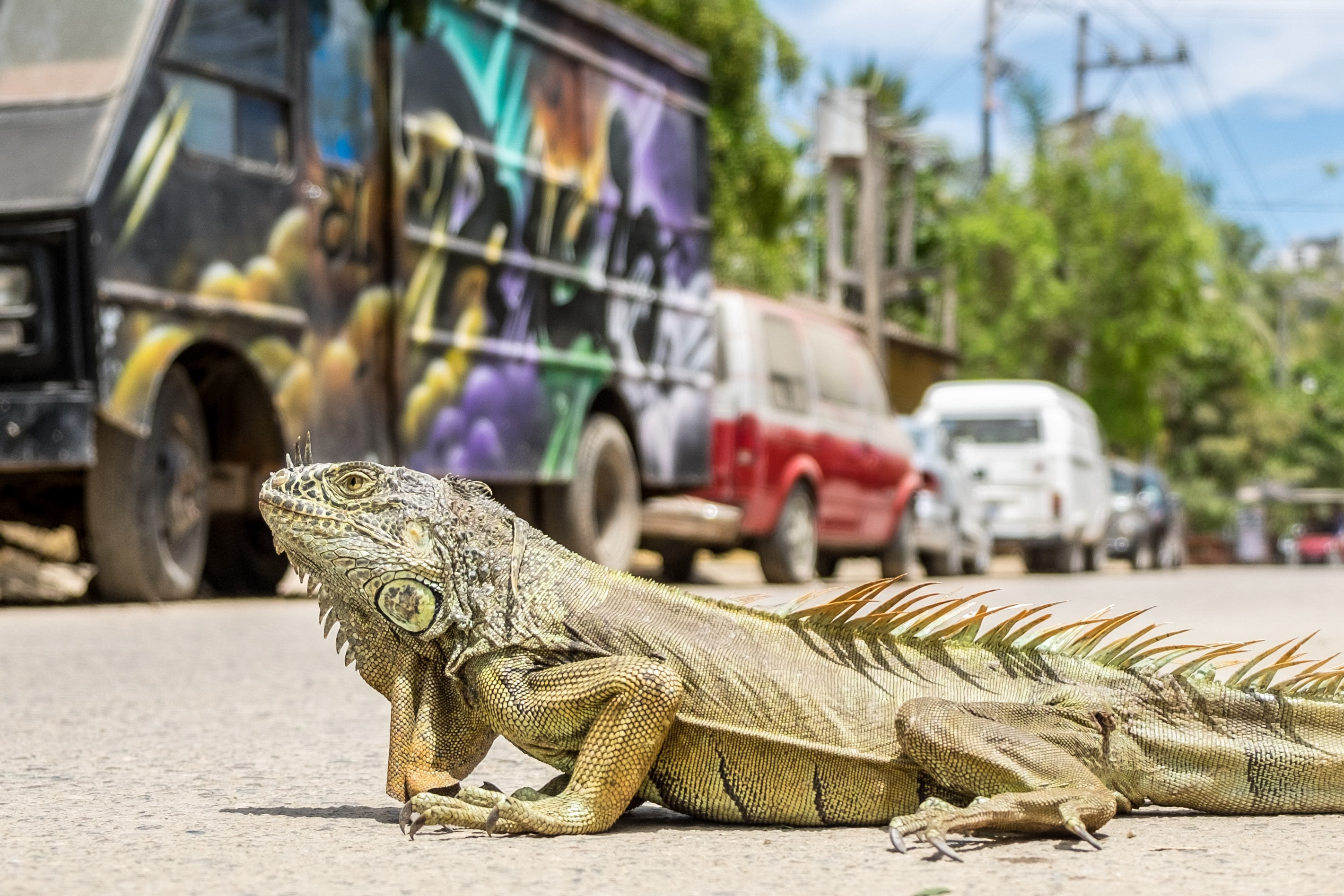 A reptile crossing a street on a sunny day, beside a painted black van and a row of cars
