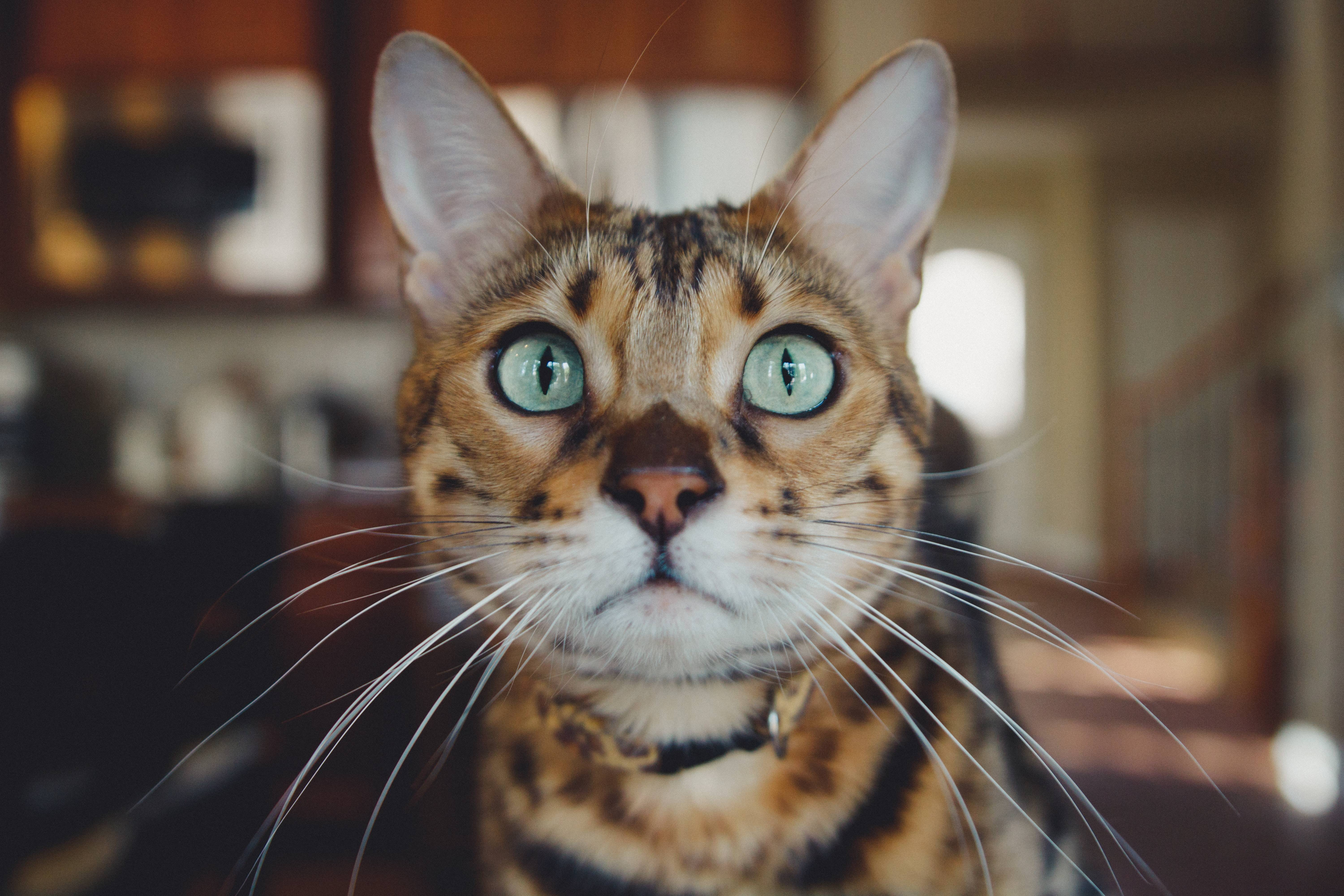 Close-up of a tiger-striped cat's face