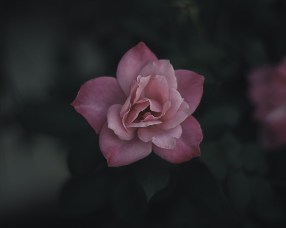 Pink flower pictures download free images on unsplash close up of a pink rose like flower mightylinksfo