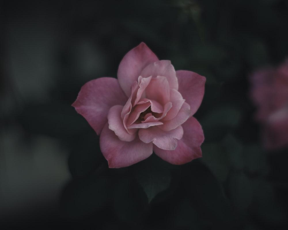 macro shot photography of pink flower