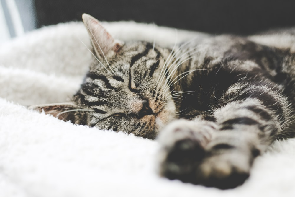silver tabby cat sleeping on white blanket
