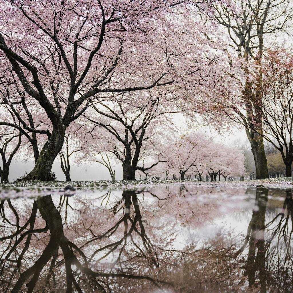 cherry blossom trees near river