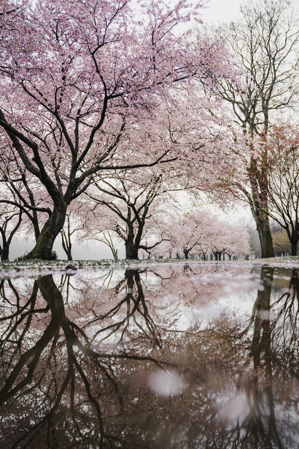 cherry blossom trees near river
