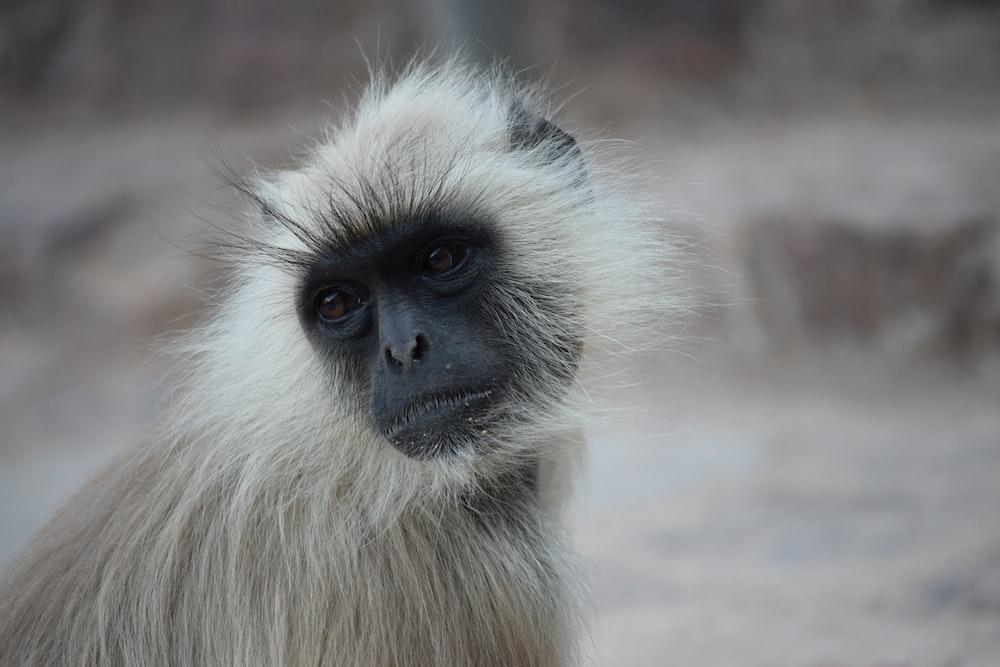 black and gray monkey looking sidewards