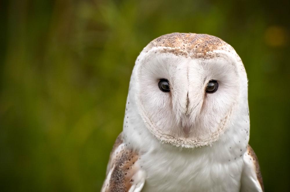 white barn owl