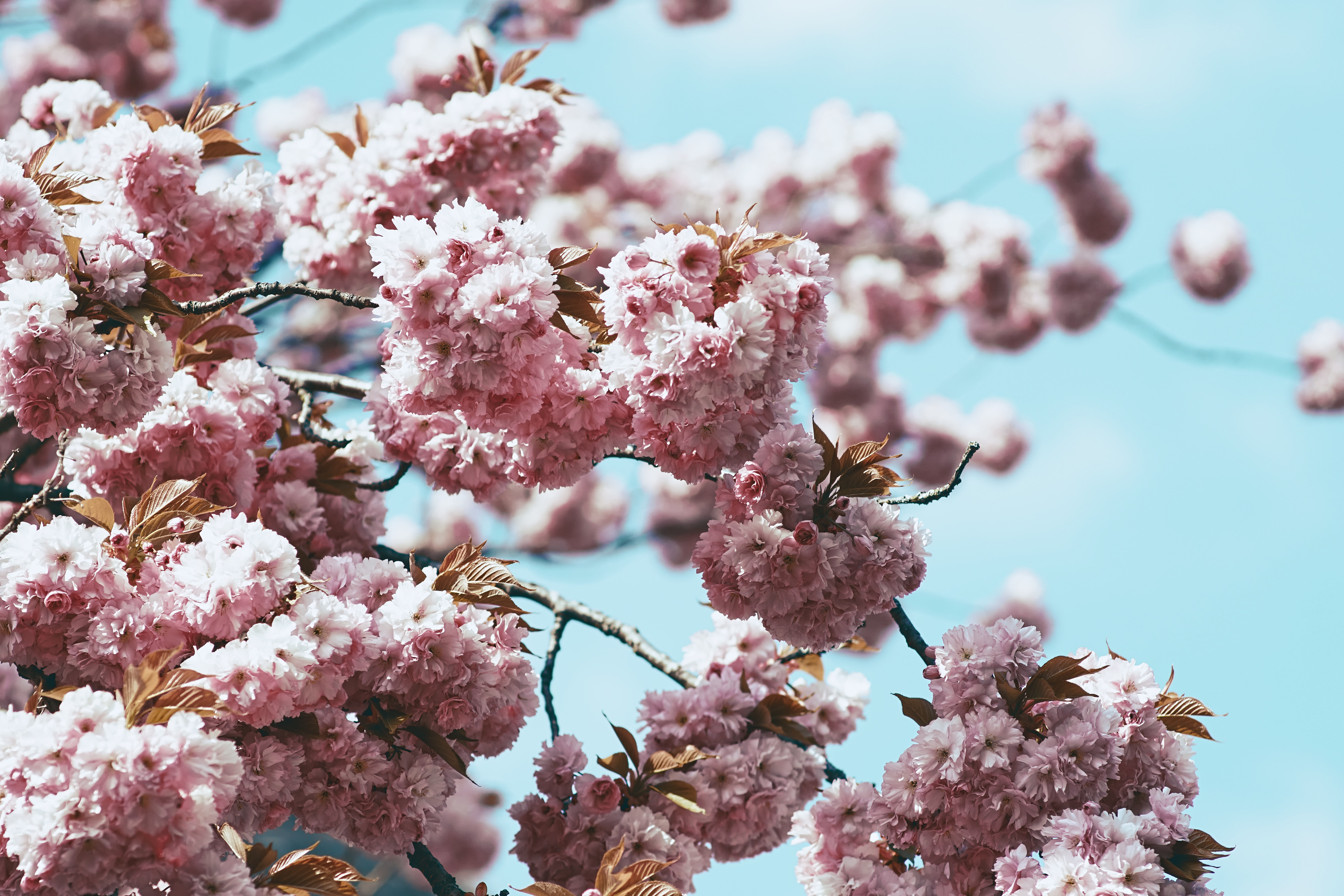 Thick pink blossom on tree branch in Austria with blue sky in Spring