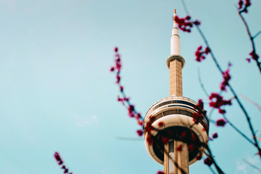 Pink blossom branch against clear blue sky background in front of CN Tower, Toronto