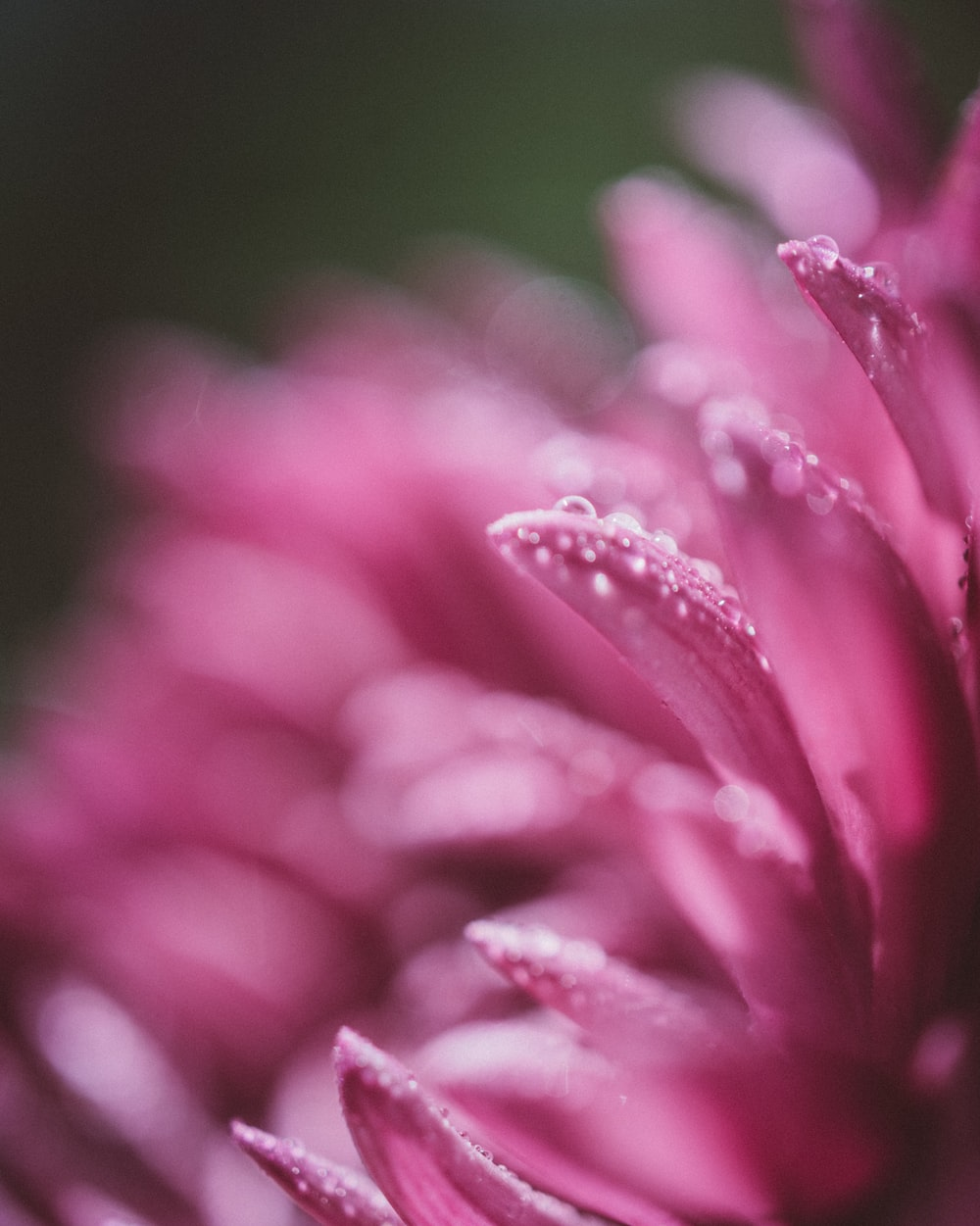 macro photography of pink clustered flower with water dews