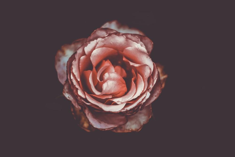macro photography of pink rose flwoer