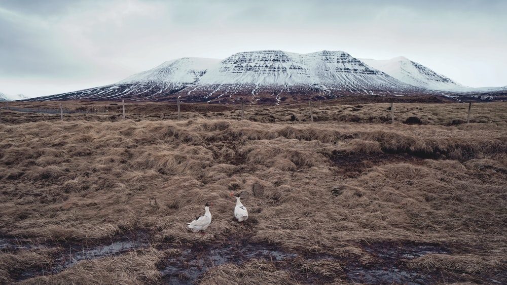two white animals in the middle of field