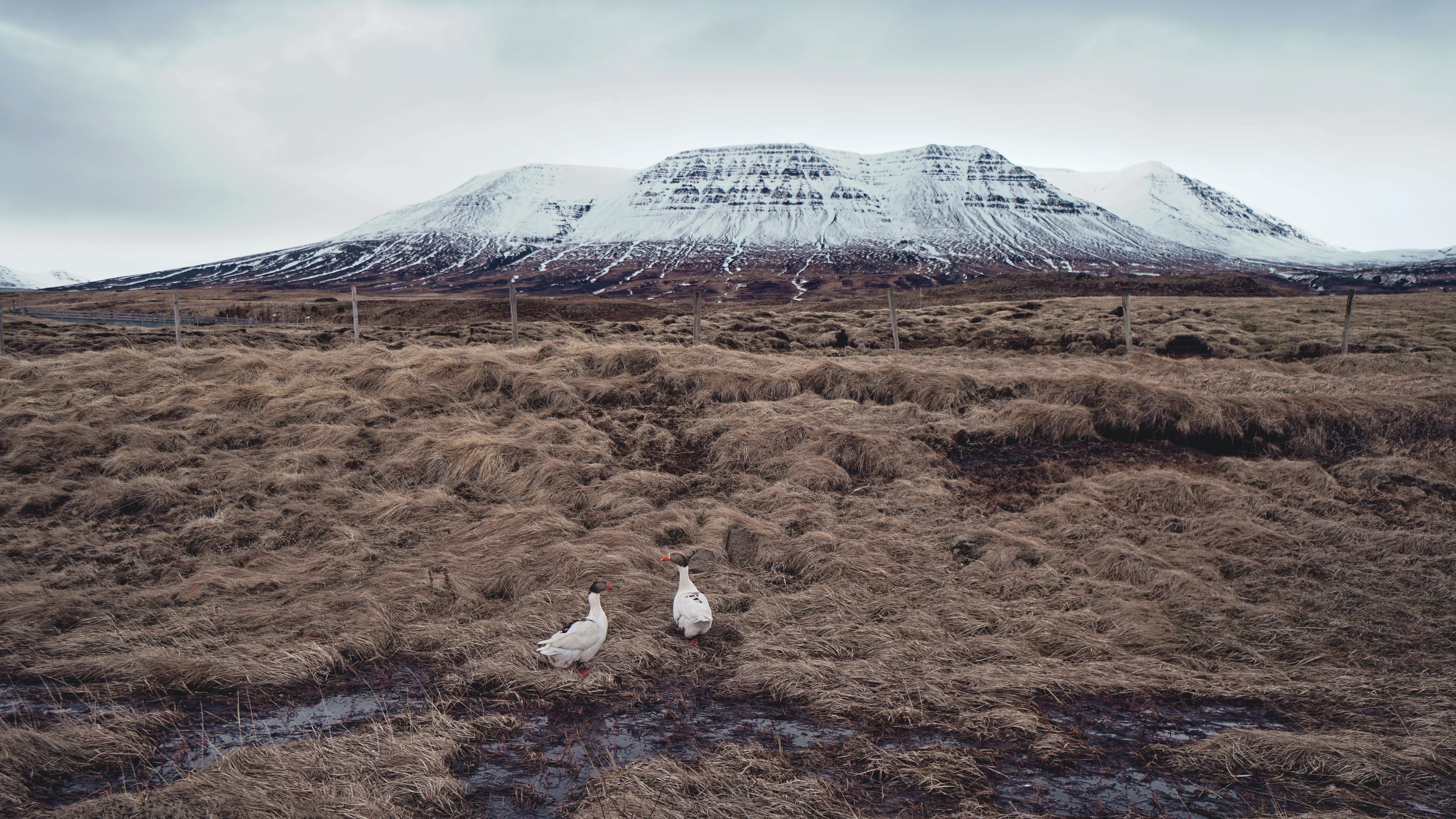 Two ducks in an enclosure near snowy table-top mountains in Iceland
