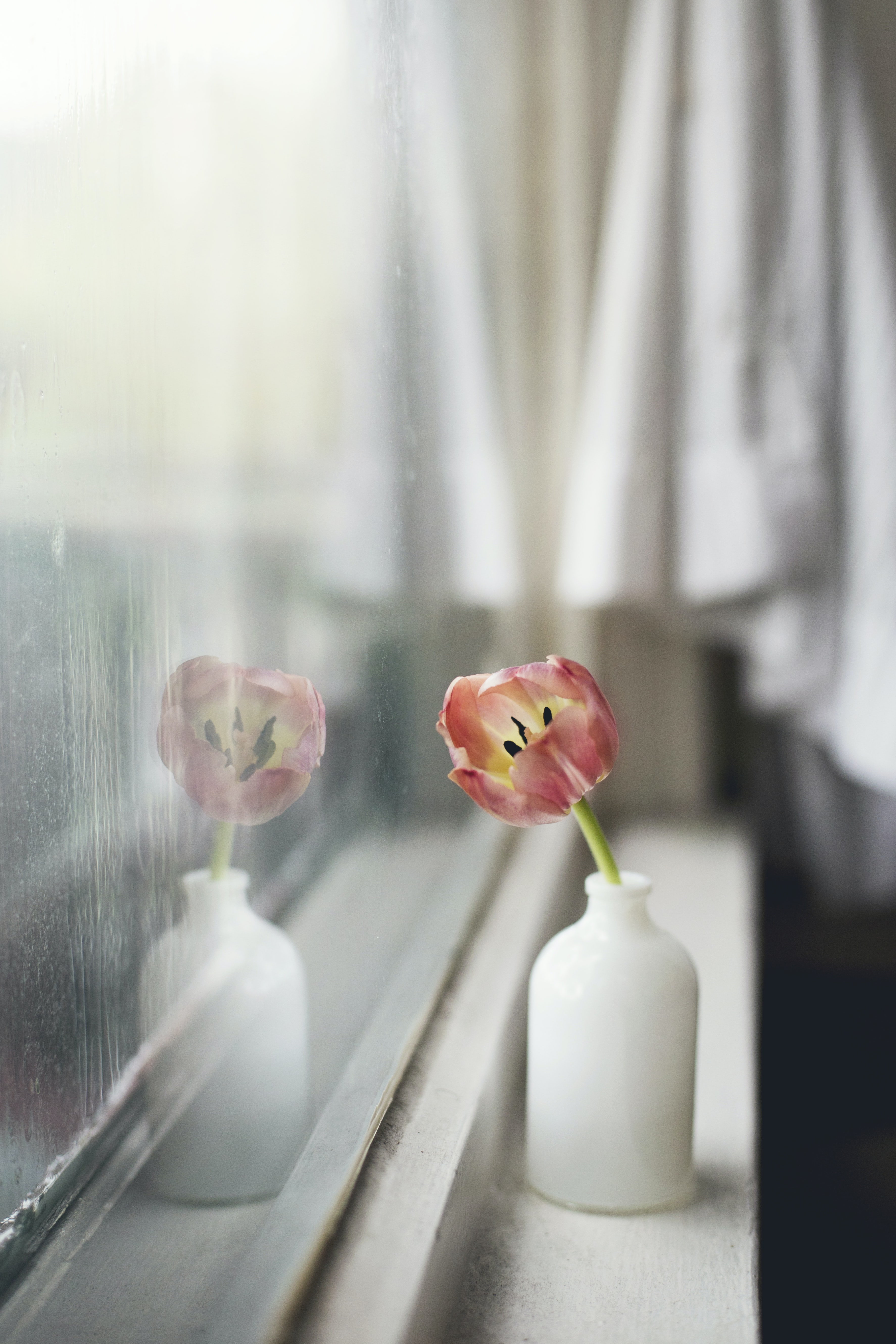 A faint red tulip in a small white vase on a windowsill