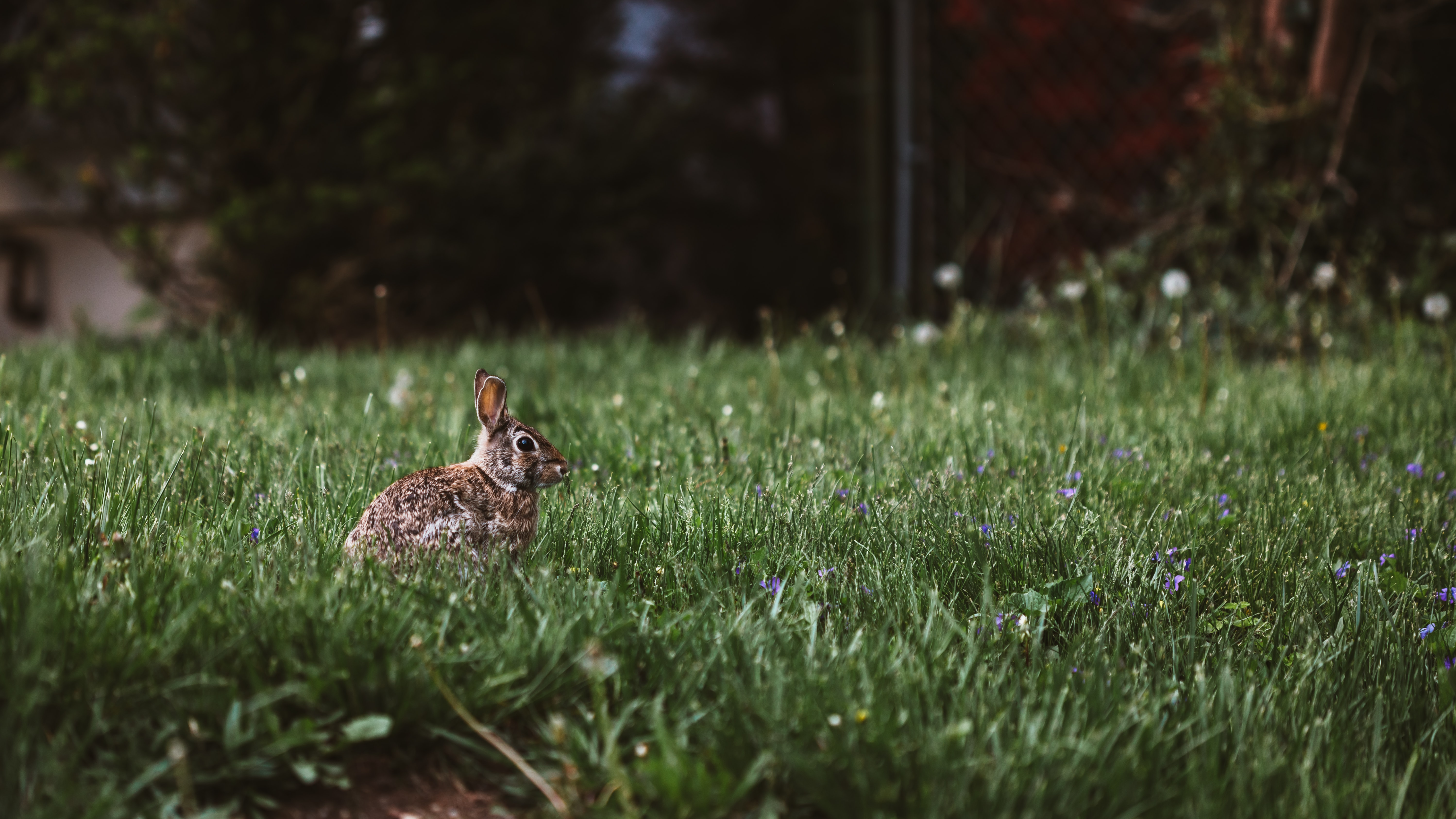 Brown rabbit with on a grassy ground