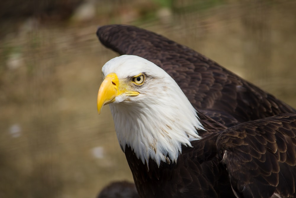 closeup photography of brown and white eagle