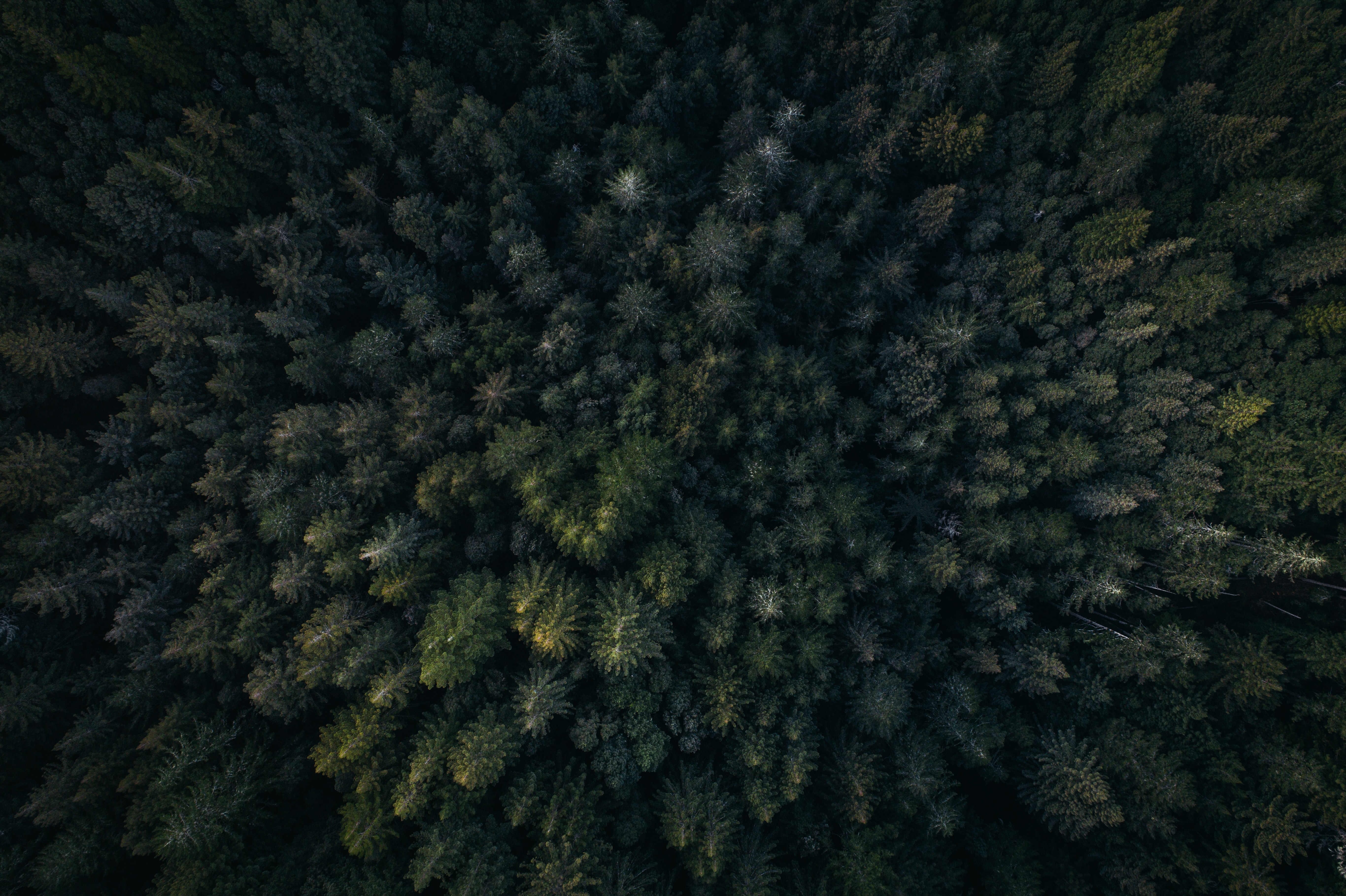 A drone shot of a coniferous forest near Redwood City