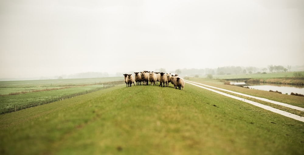 herd of sheep on field at daytime