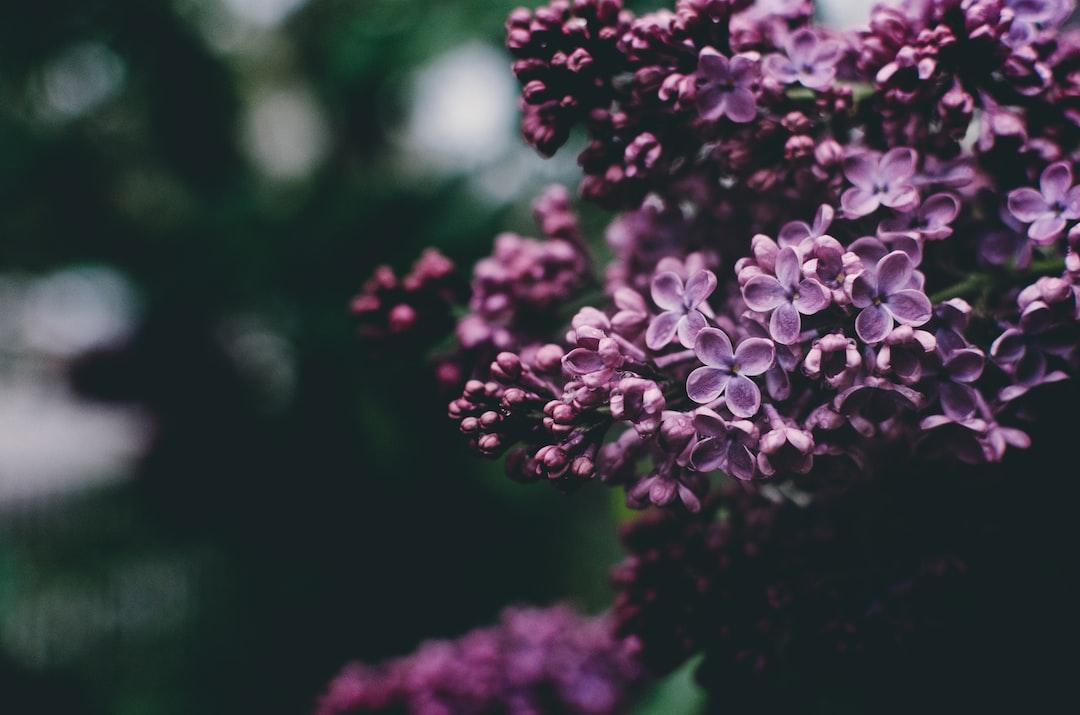Lilacs in full bloom